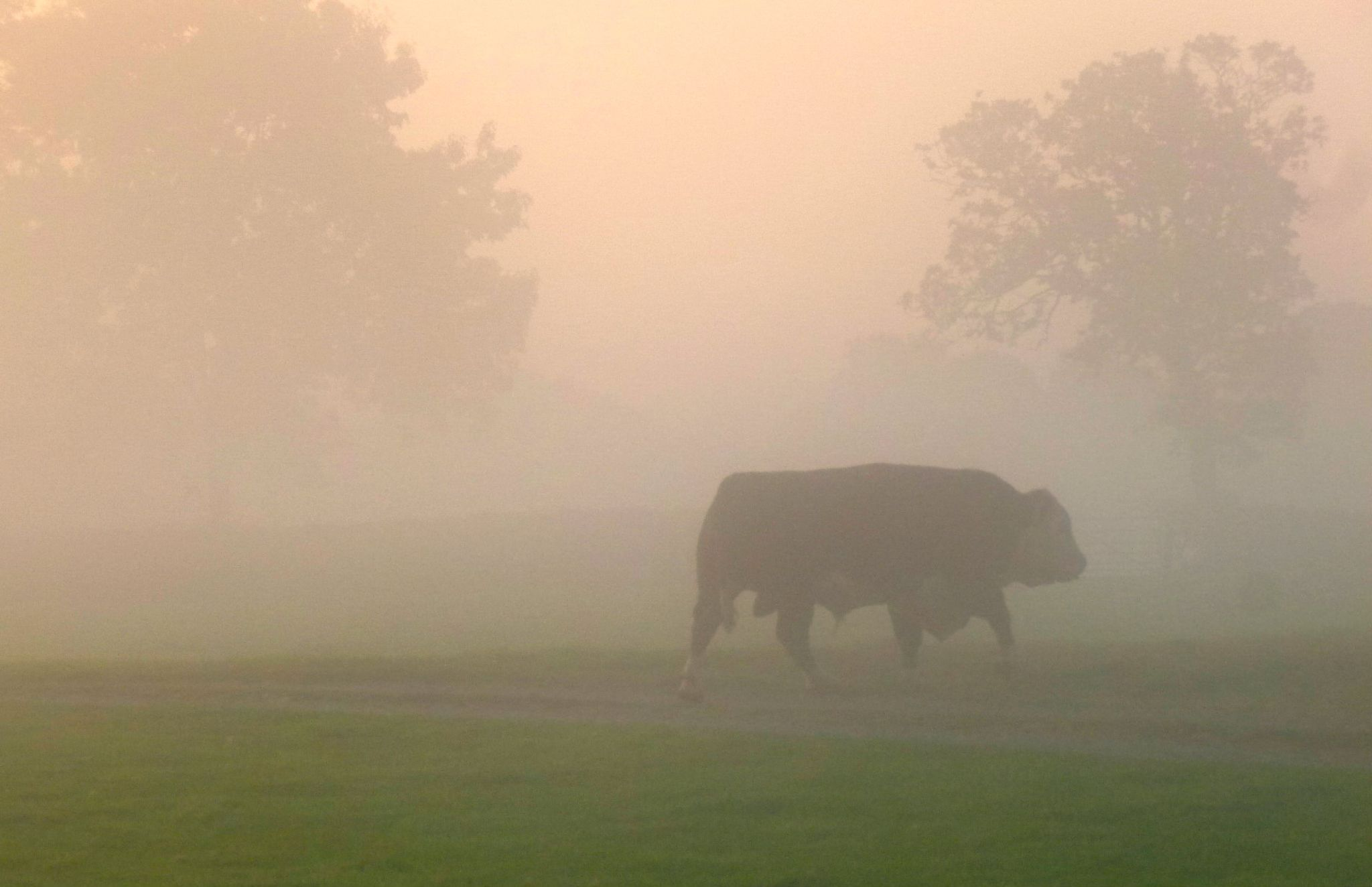 old bull in a misty sunrise by chris.adams.3557