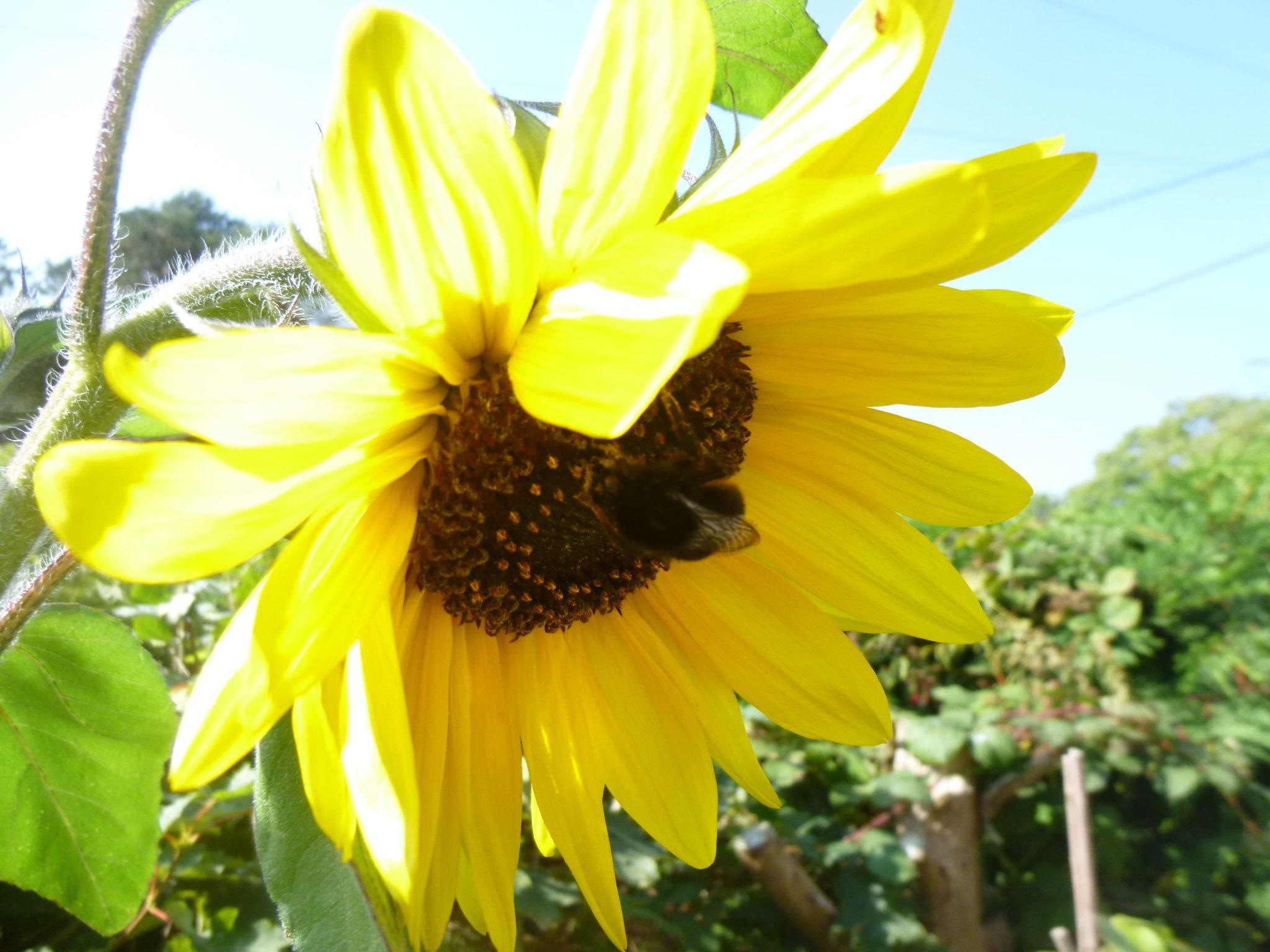 sunflower by chris.adams.3557