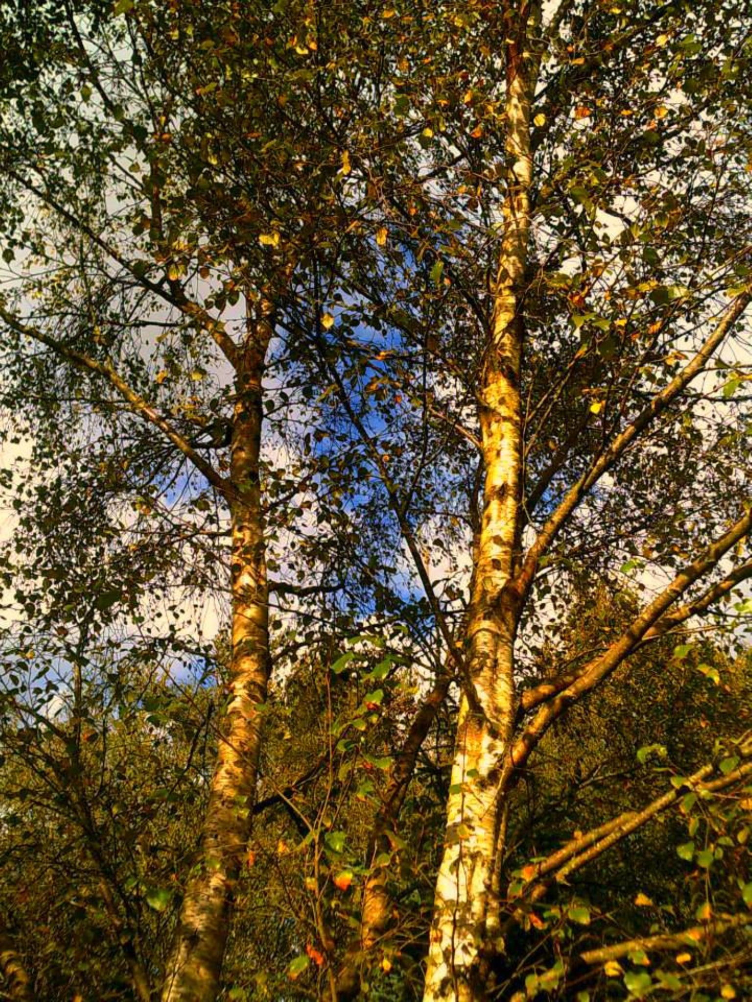 autumn birch by chris.adams.3557