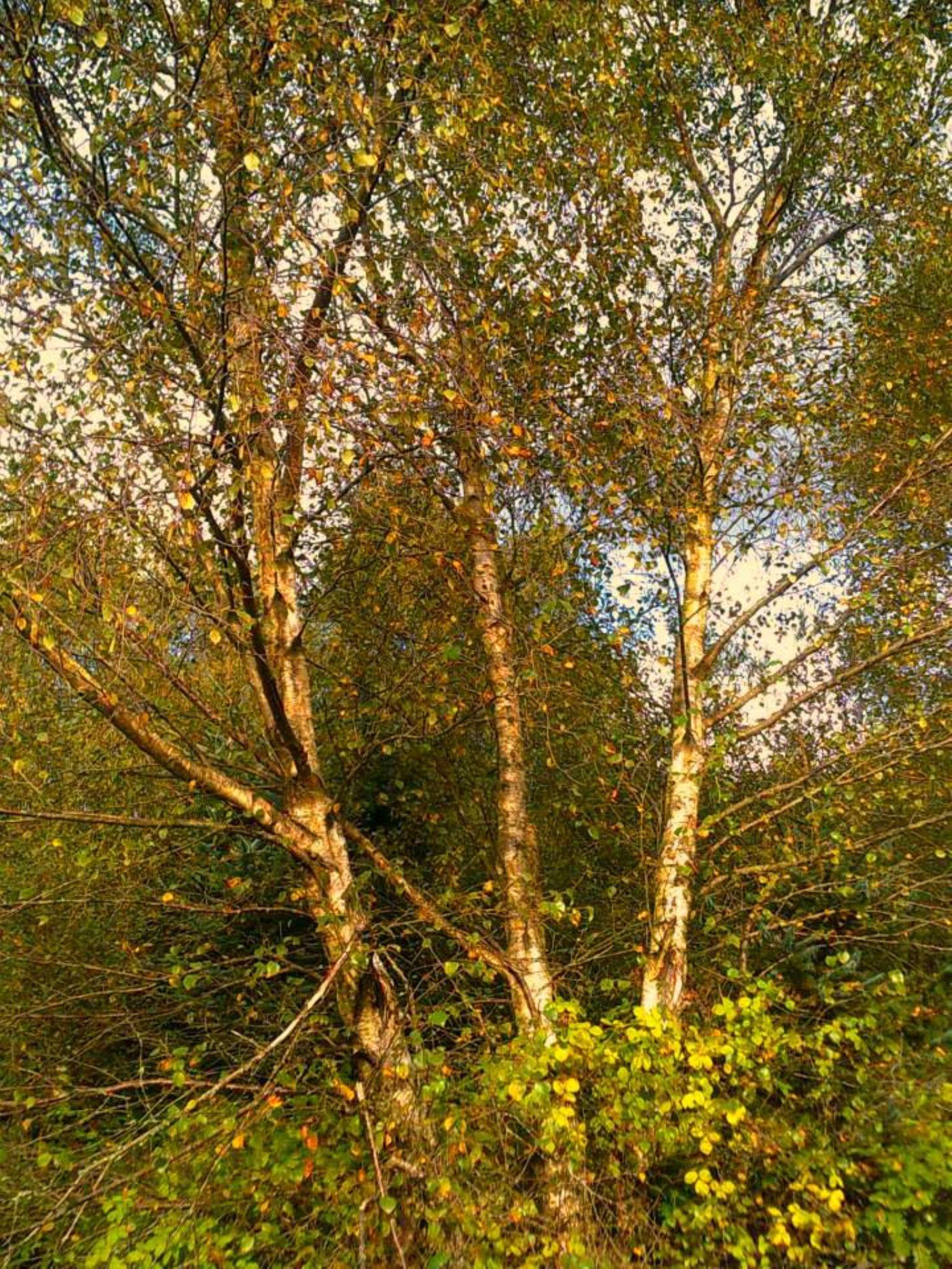 autumn birch trees by chris.adams.3557