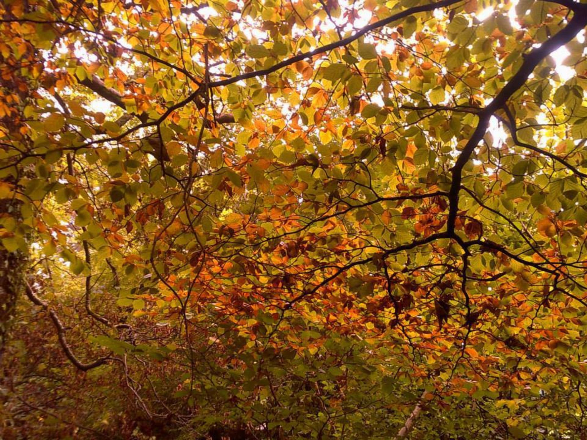autumn beech tree by chris.adams.3557