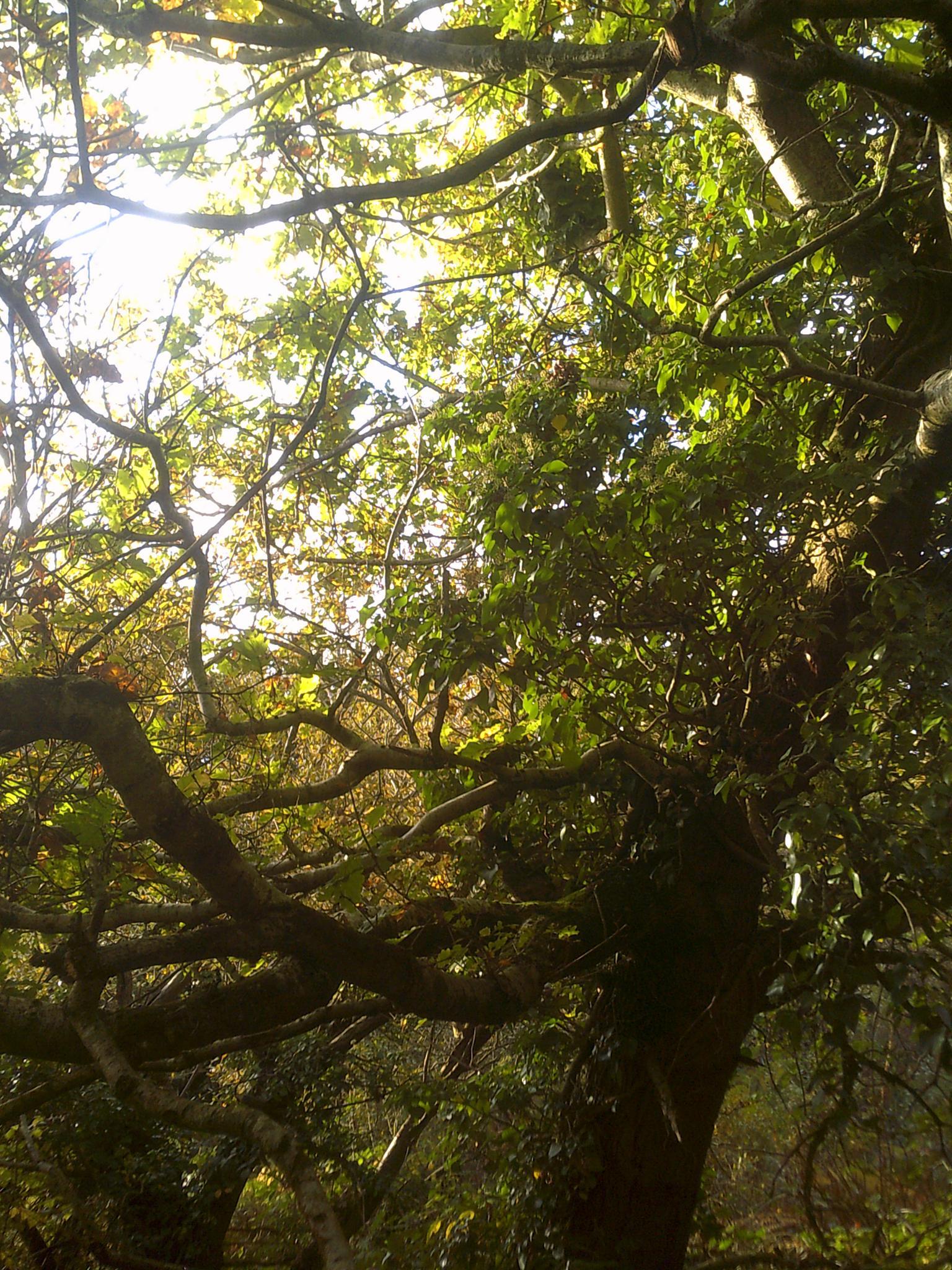 oak by chris.adams.3557