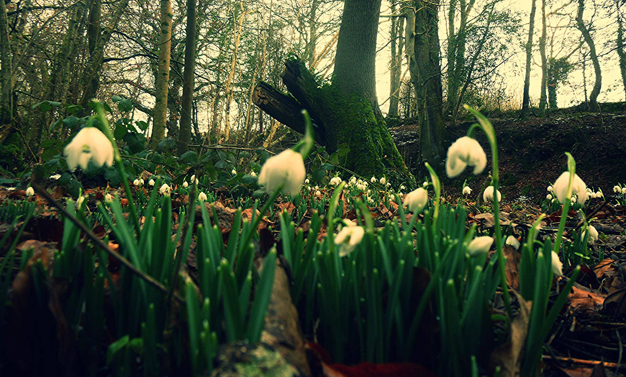 snowdrops by chris.adams.3557
