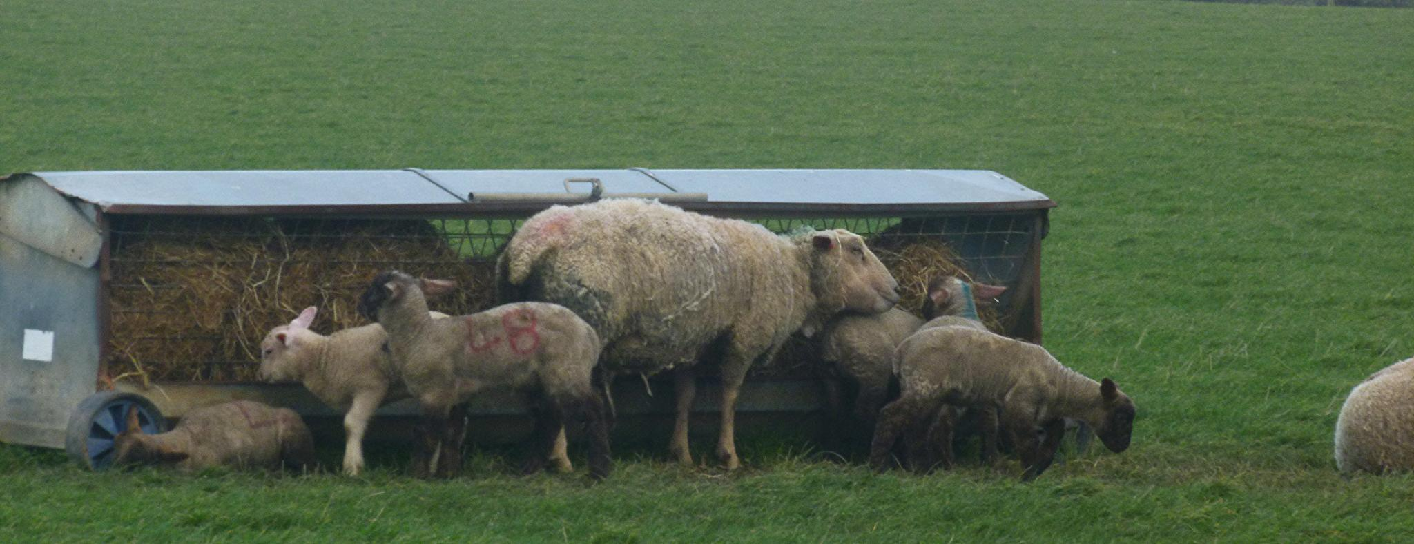 sheep by chris.adams.3557