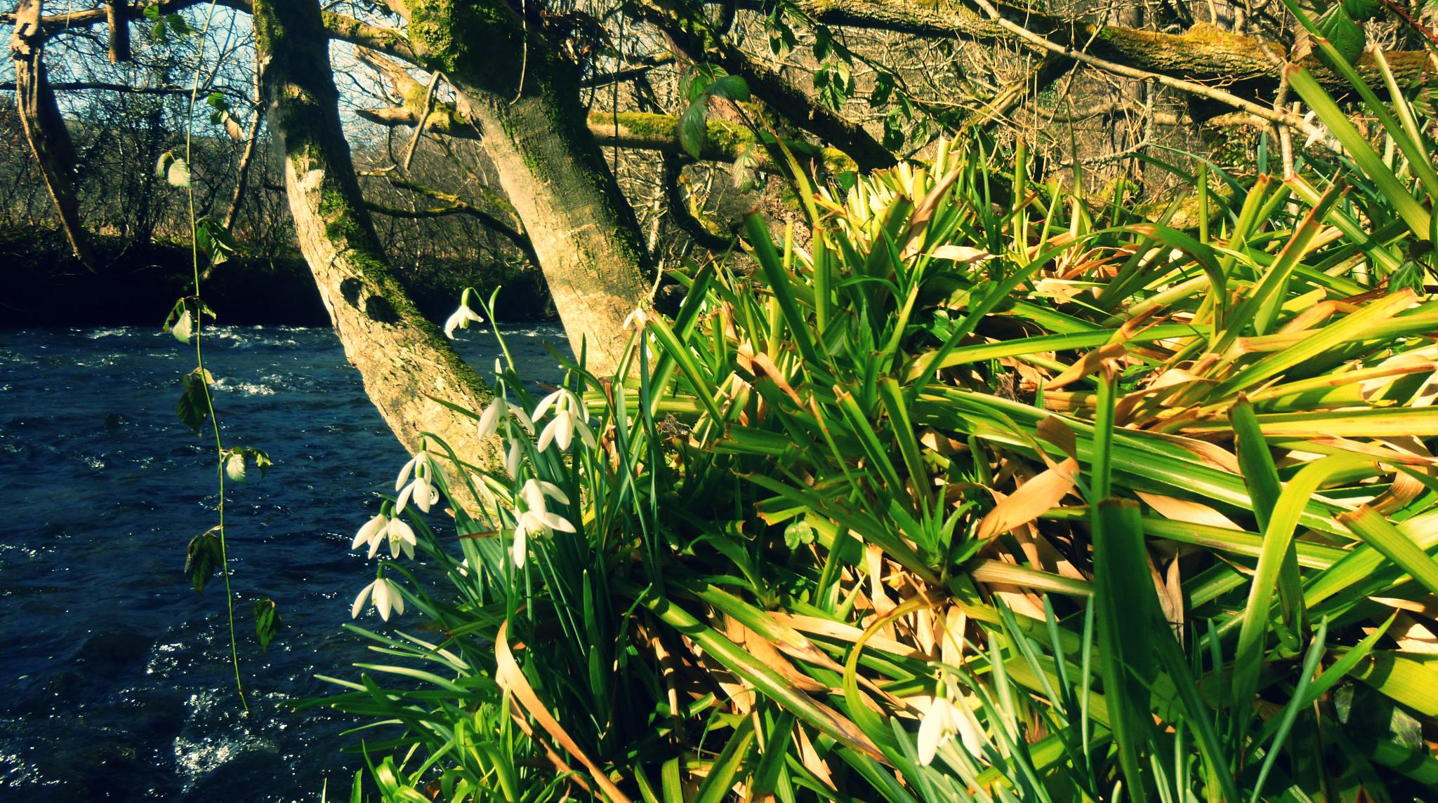 snowdrops by the river aeron by chris.adams.3557