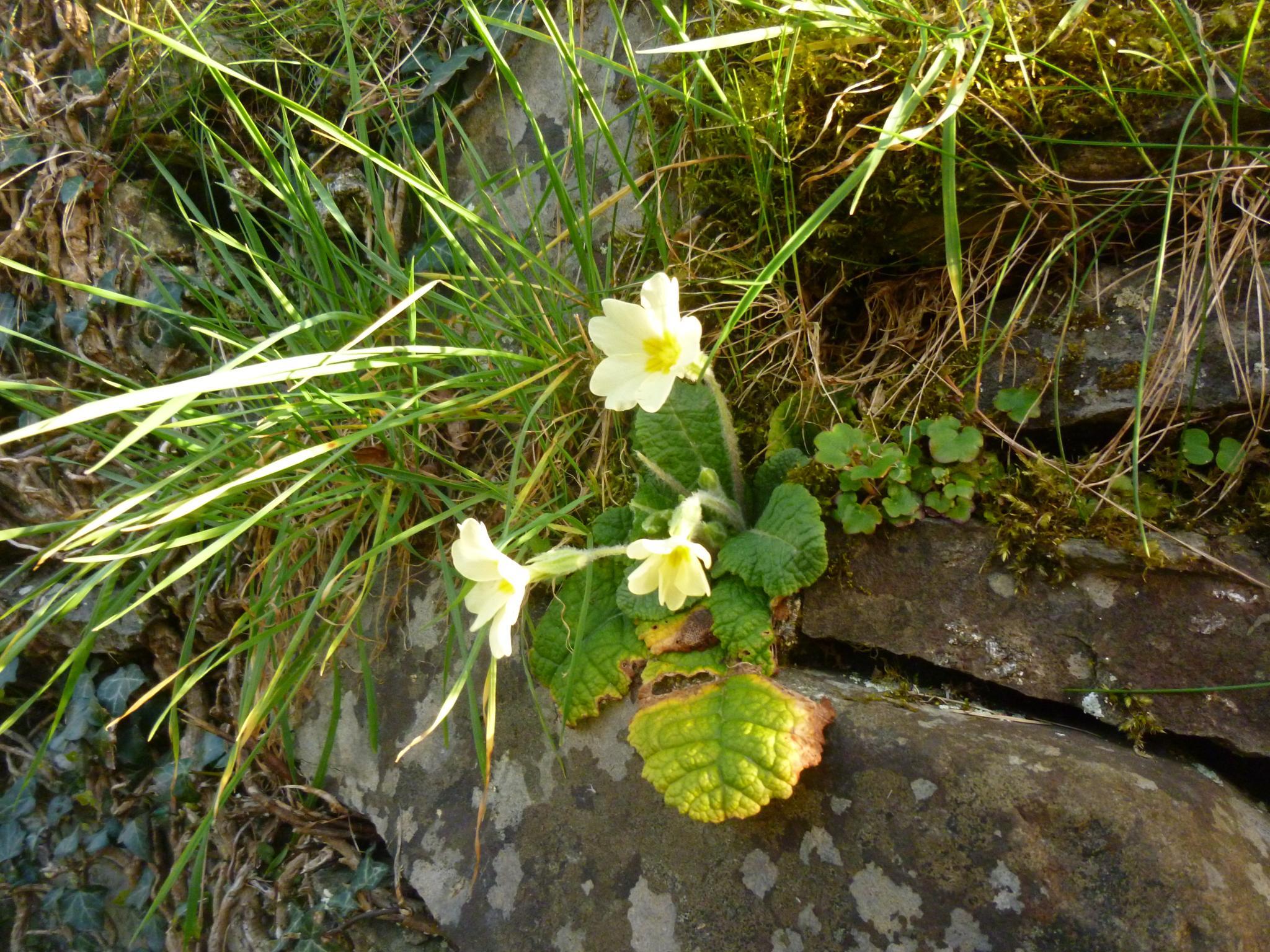 primrose by chris.adams.3557