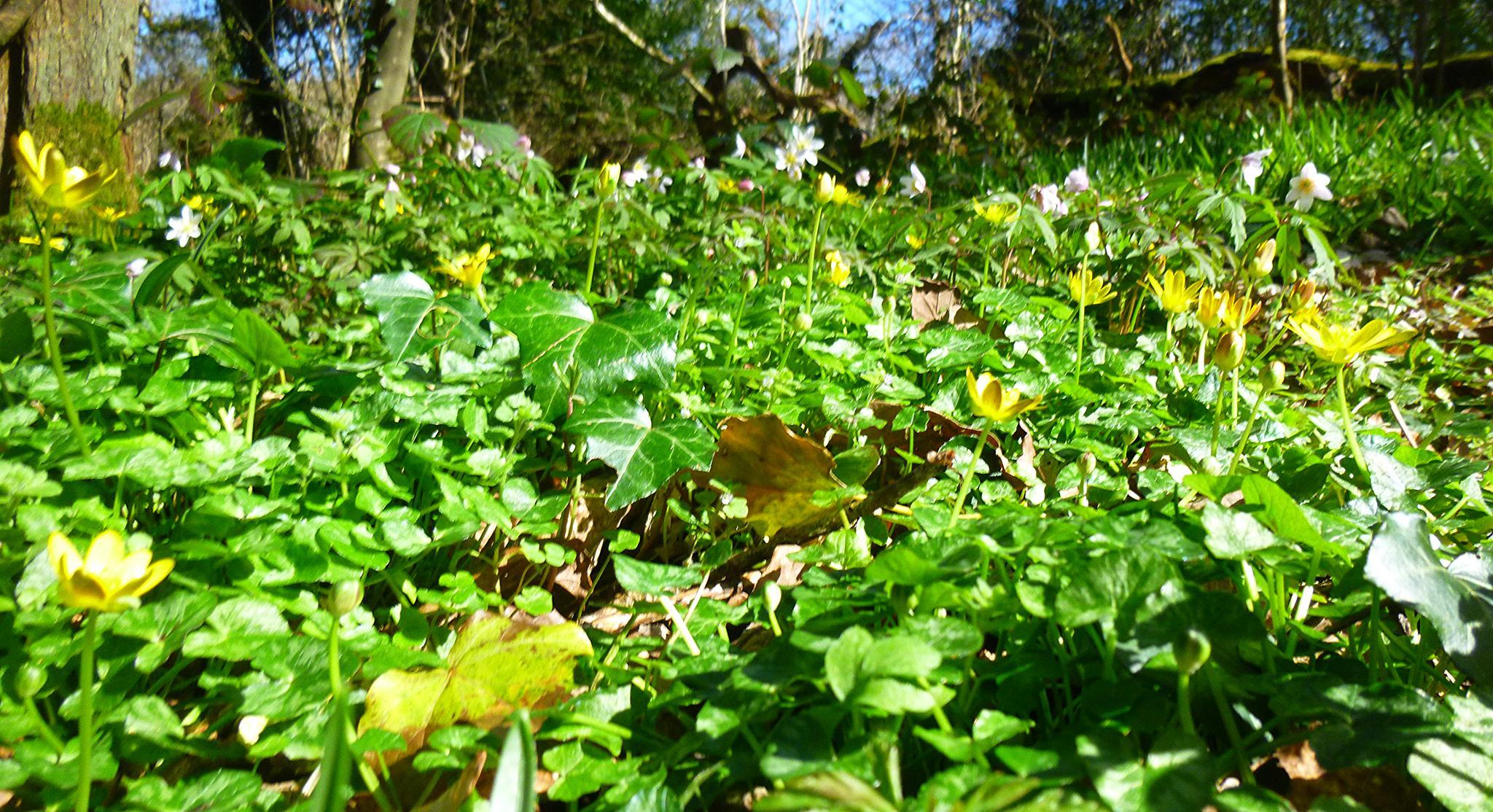 woodland carpet, spring by chris.adams.3557