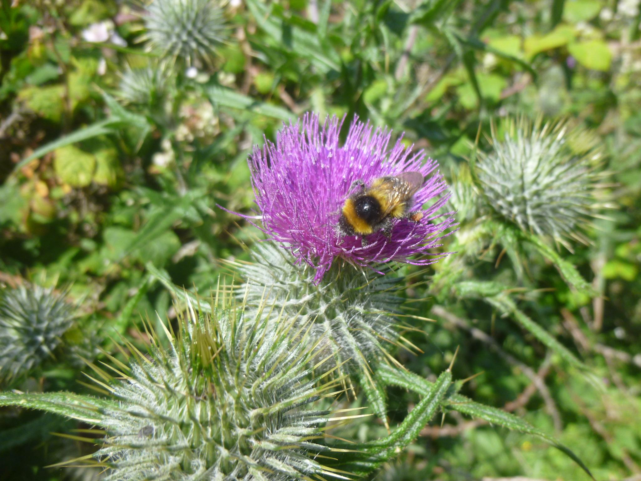 bee and thistle by chris.adams.3557