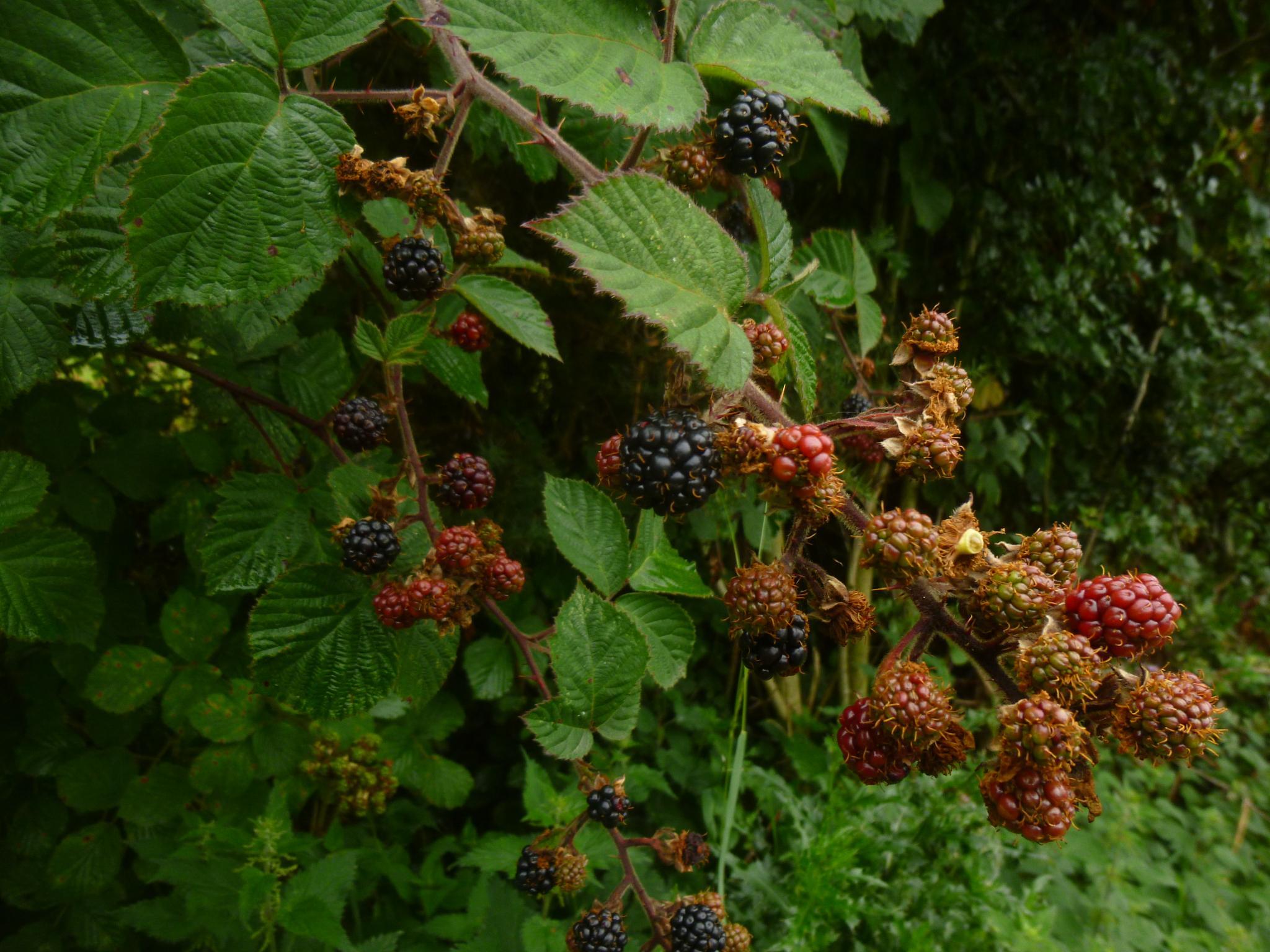 blackberry by chris.adams.3557