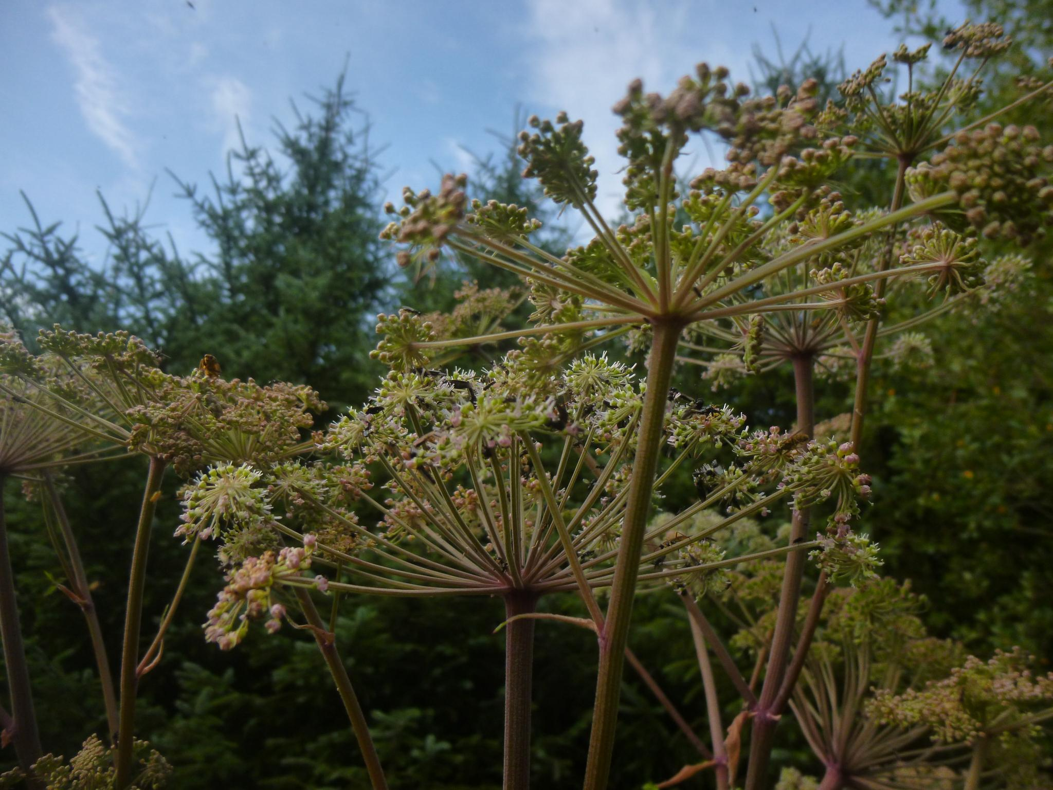 hogweed by chris.adams.3557