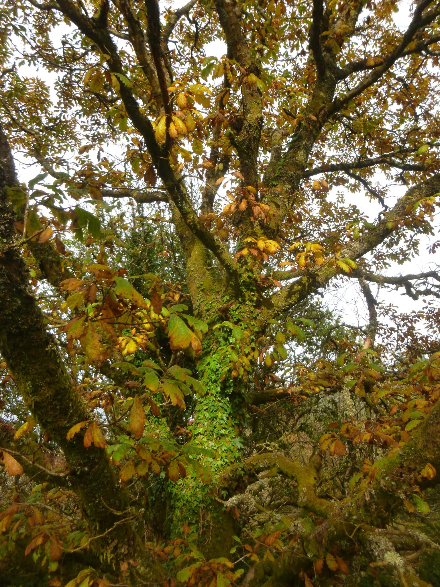 autumn oak by chris.adams.3557