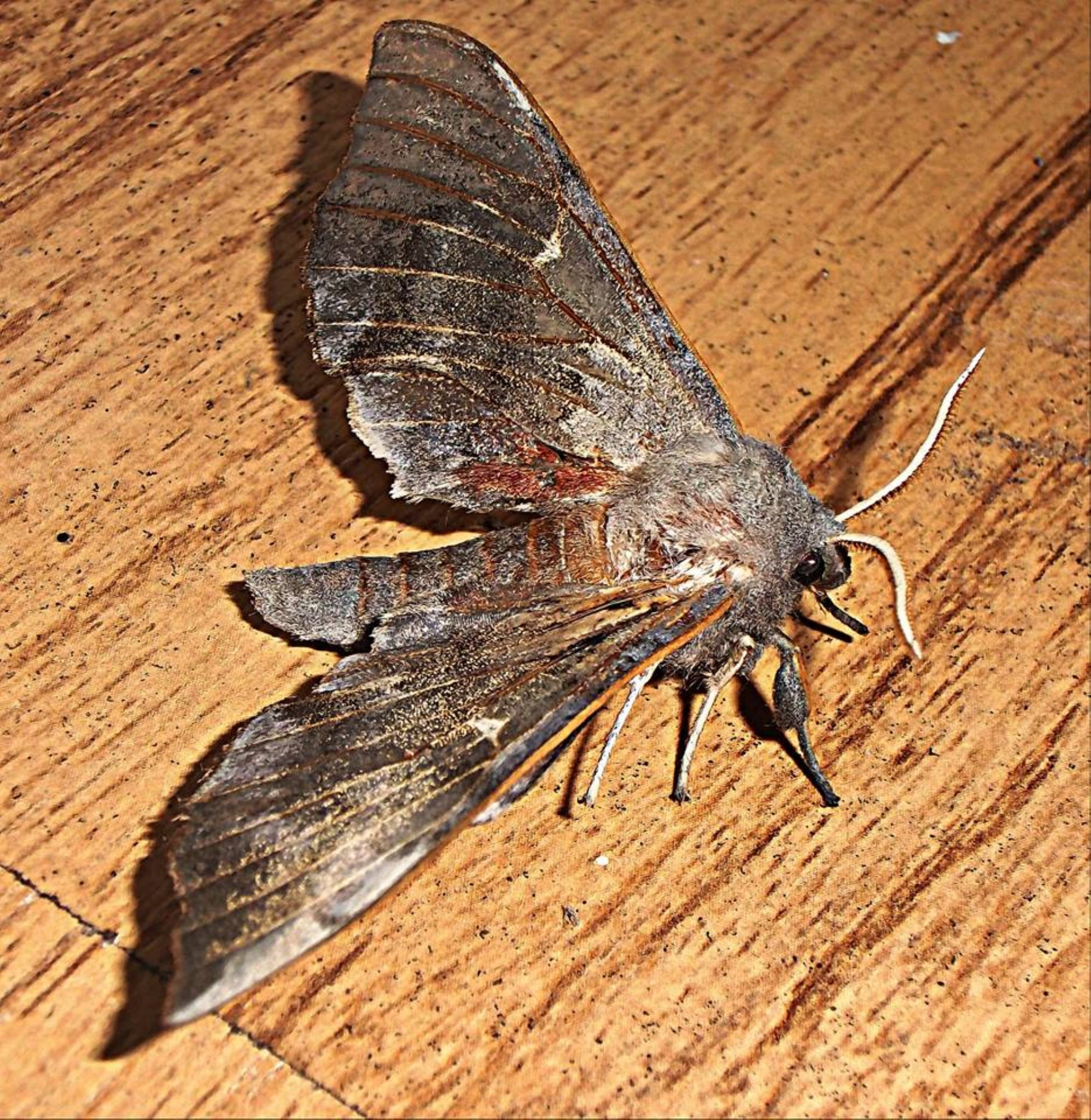 hawks moth by shazoot1984