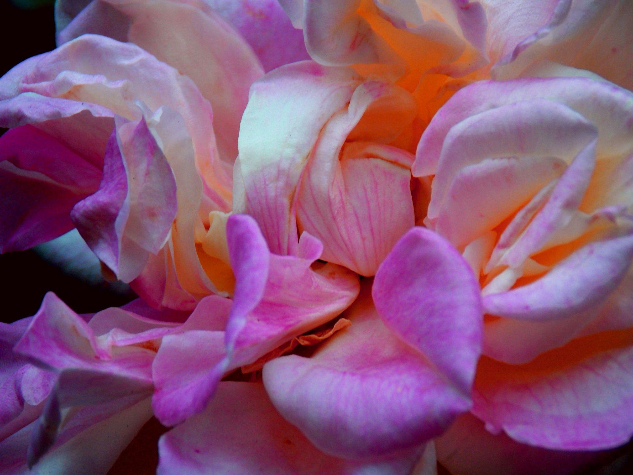 Rose by Amanda Reis Romero