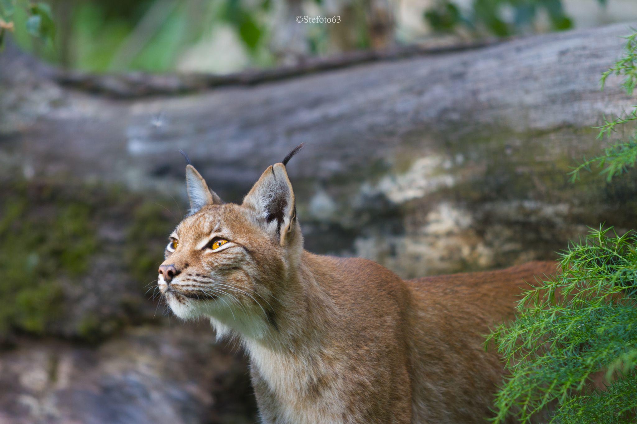 Lynx européen by ©stefoto63