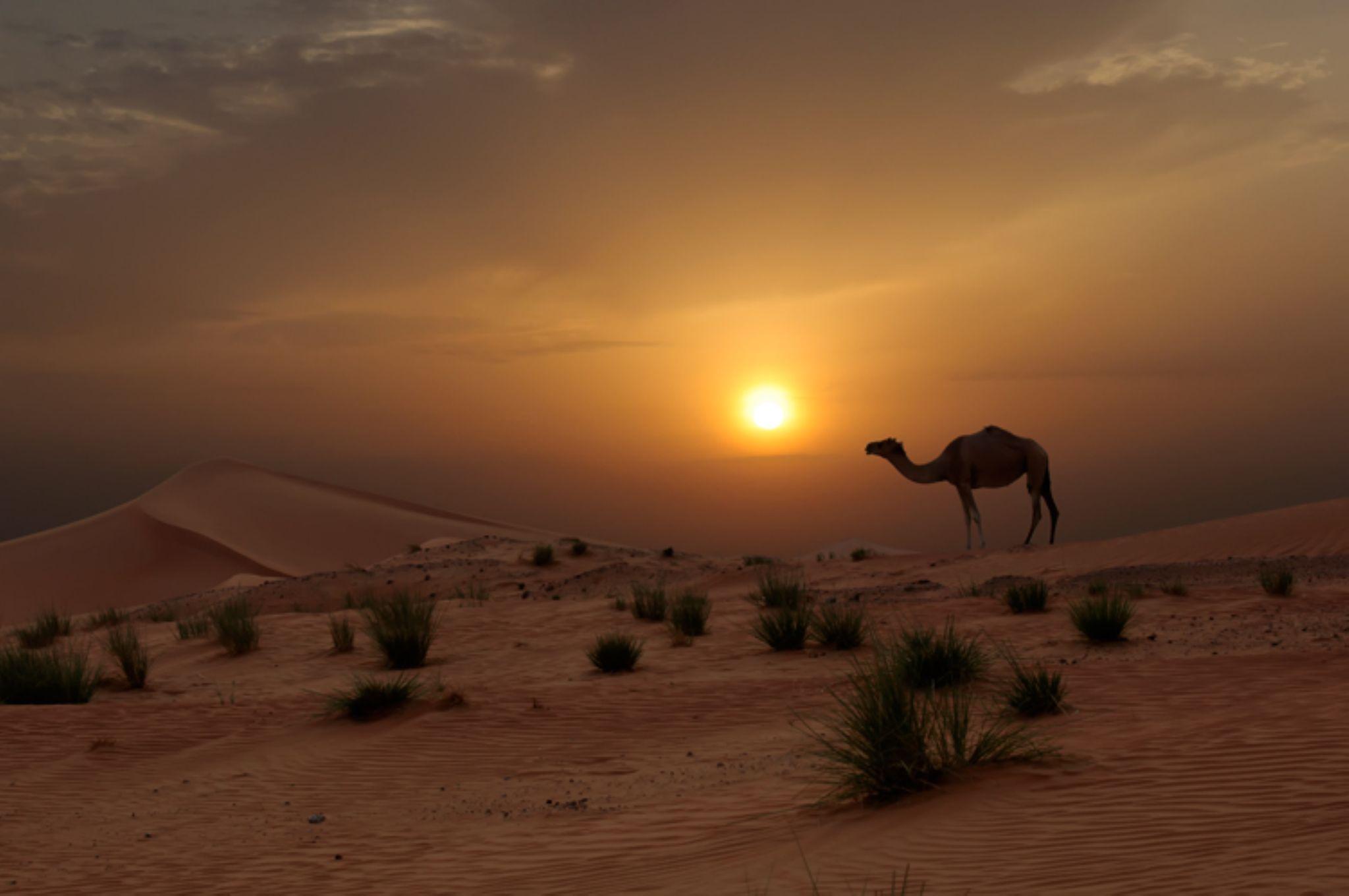 Camel in the Desert by muznabutt
