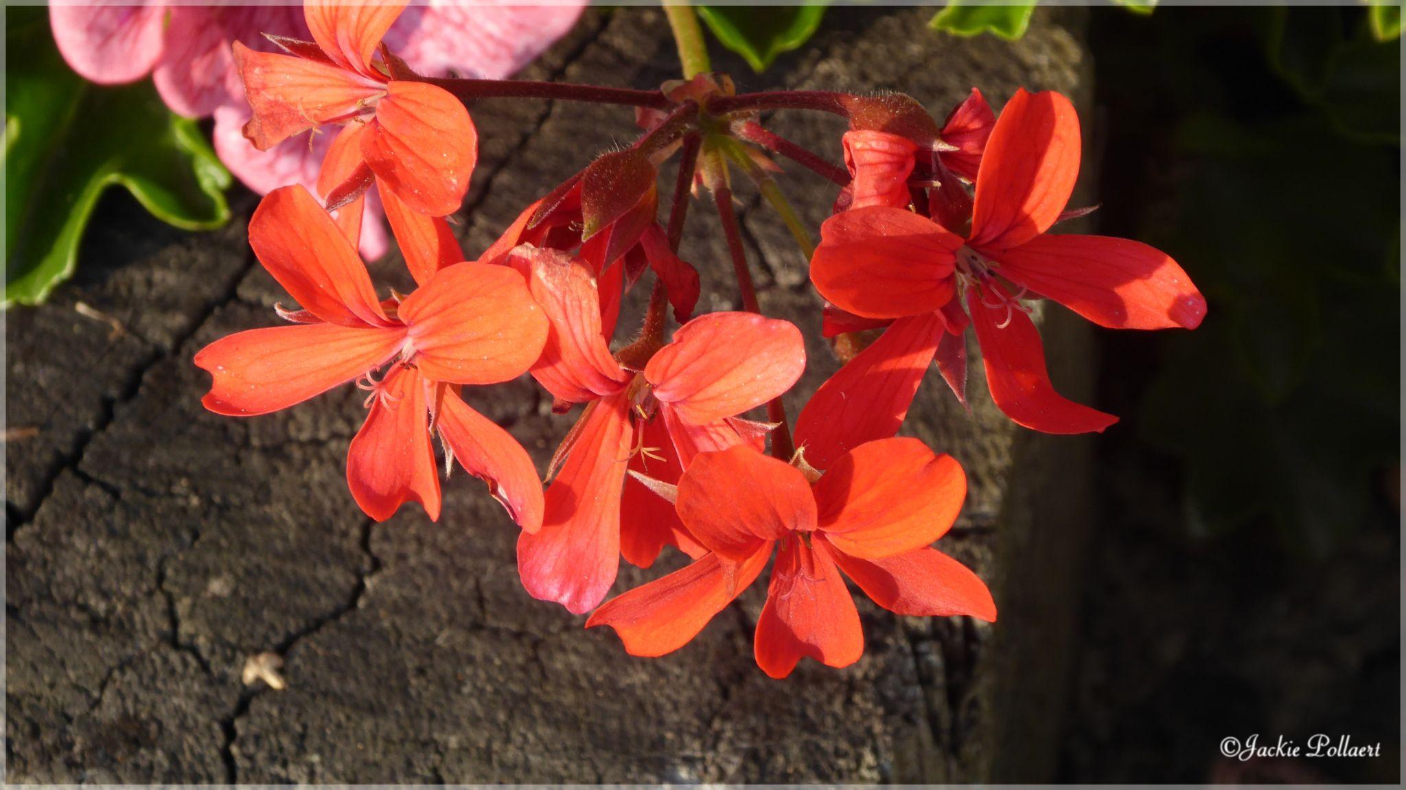 Fleurs geranium - Flowers geranium by Jackie Pollaert