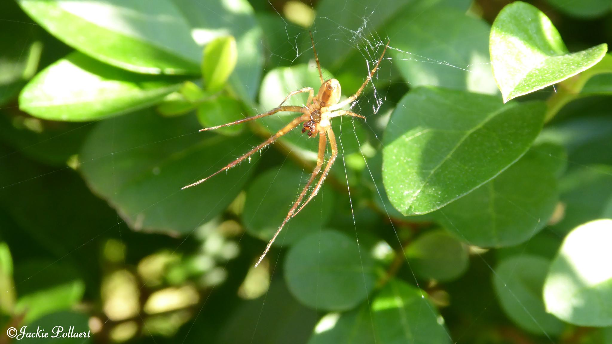 L'araignée - Spider by Jackie Pollaert