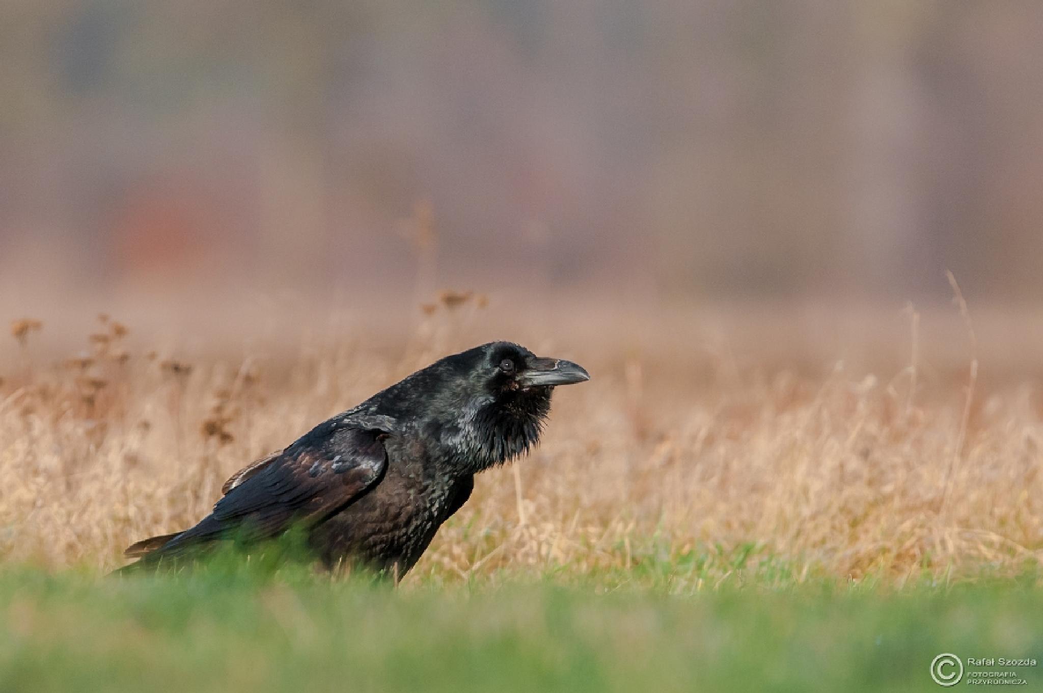 Kruk, Common Raven (Corvus corax) ... 2015r - Poland by Rafał Szozda