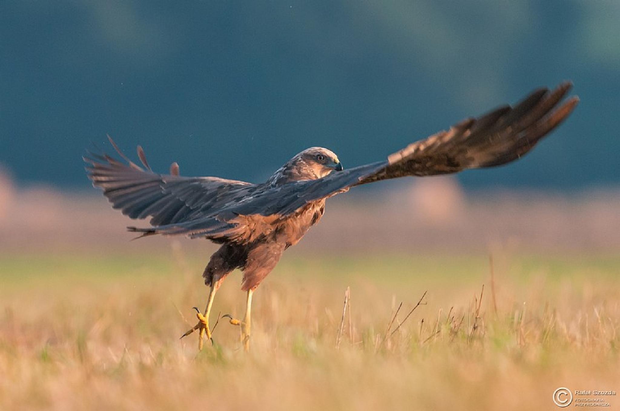 Błotniak Stawowy, Western Marsh-Harrier (Circus aeruginosus) ... 2015r by Rafał Szozda