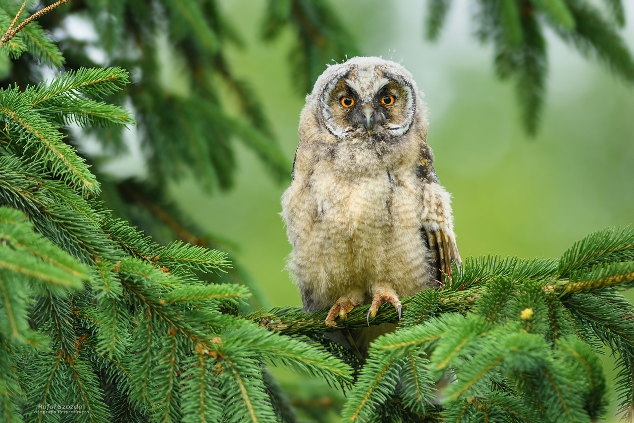 Młoda Uszatka, Long-eared Owl (Asio otus) ... 2018r by Rafał Szozda