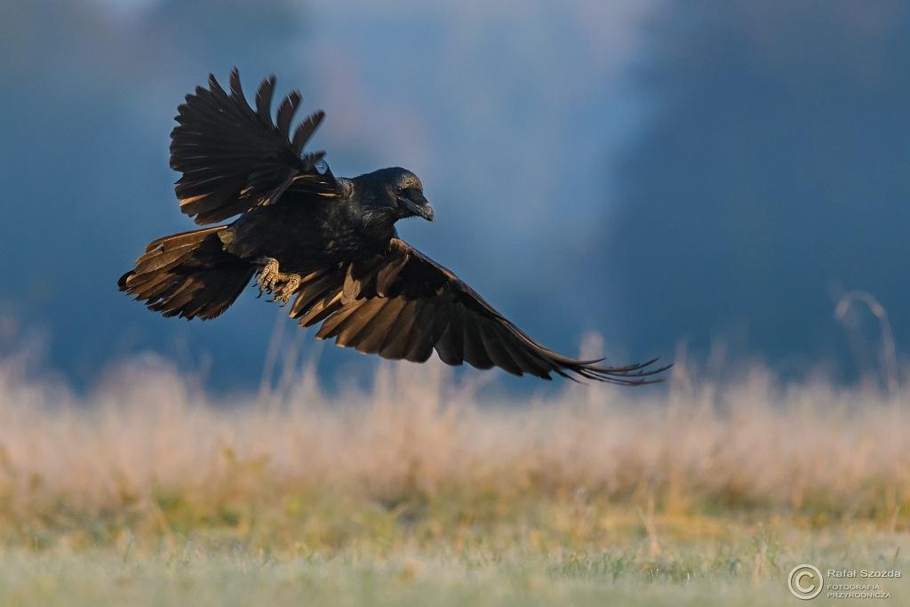 Kruk, Common Raven (Corvus corax) ... 2016r by Rafał Szozda