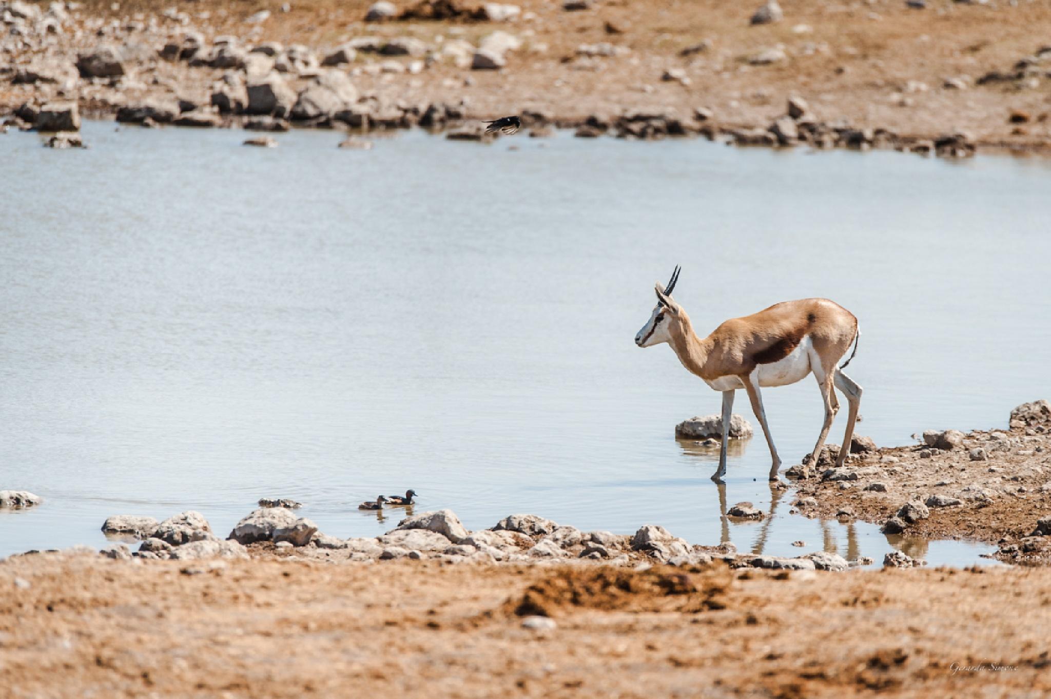Springbok by gerarda.simone.7
