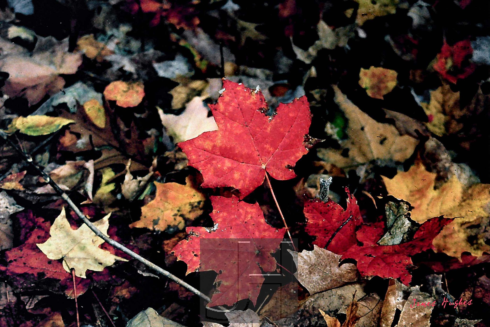 Red Maple Leaf by James Hughes Photography
