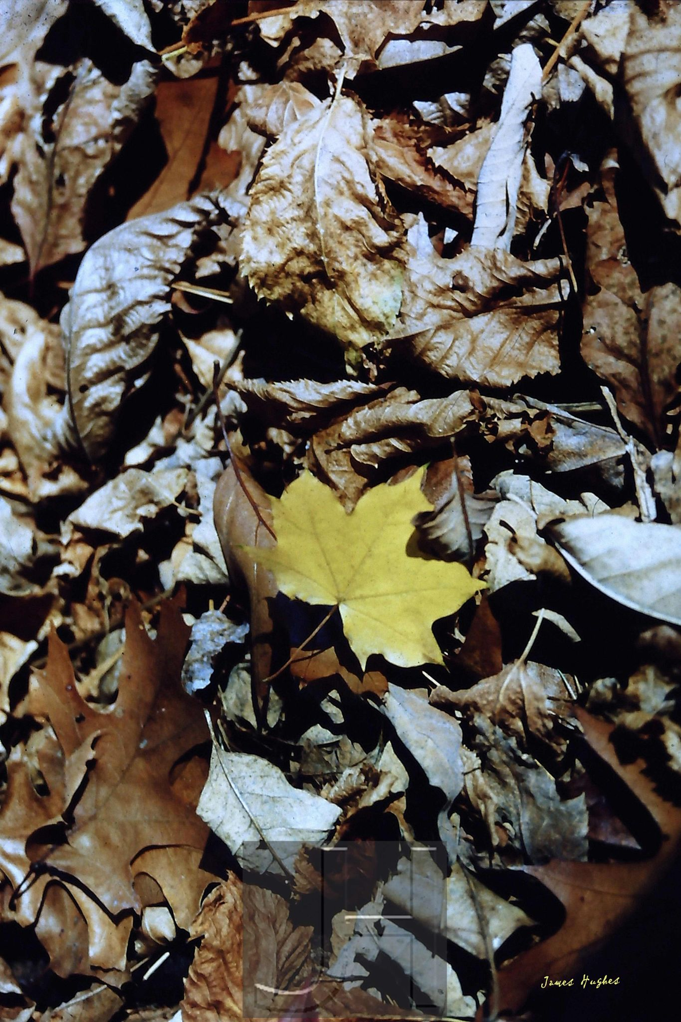 Yellow Maple Leaf by James Hughes Photography