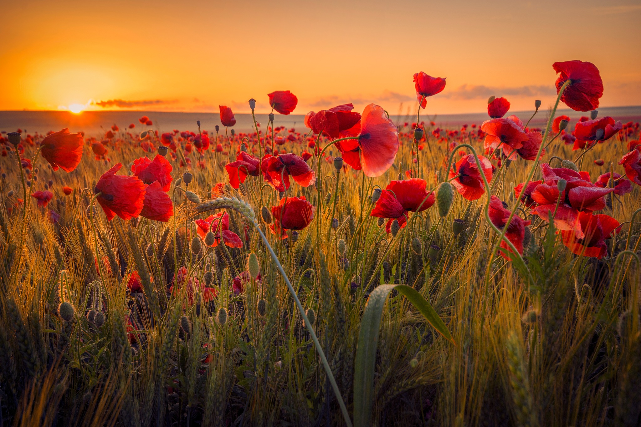Poppy Therapy - The red sunrise by Ionut Petrea