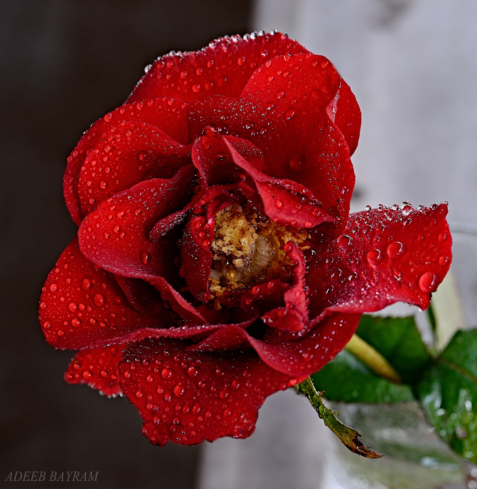 Red flower by Adeeb Albayram