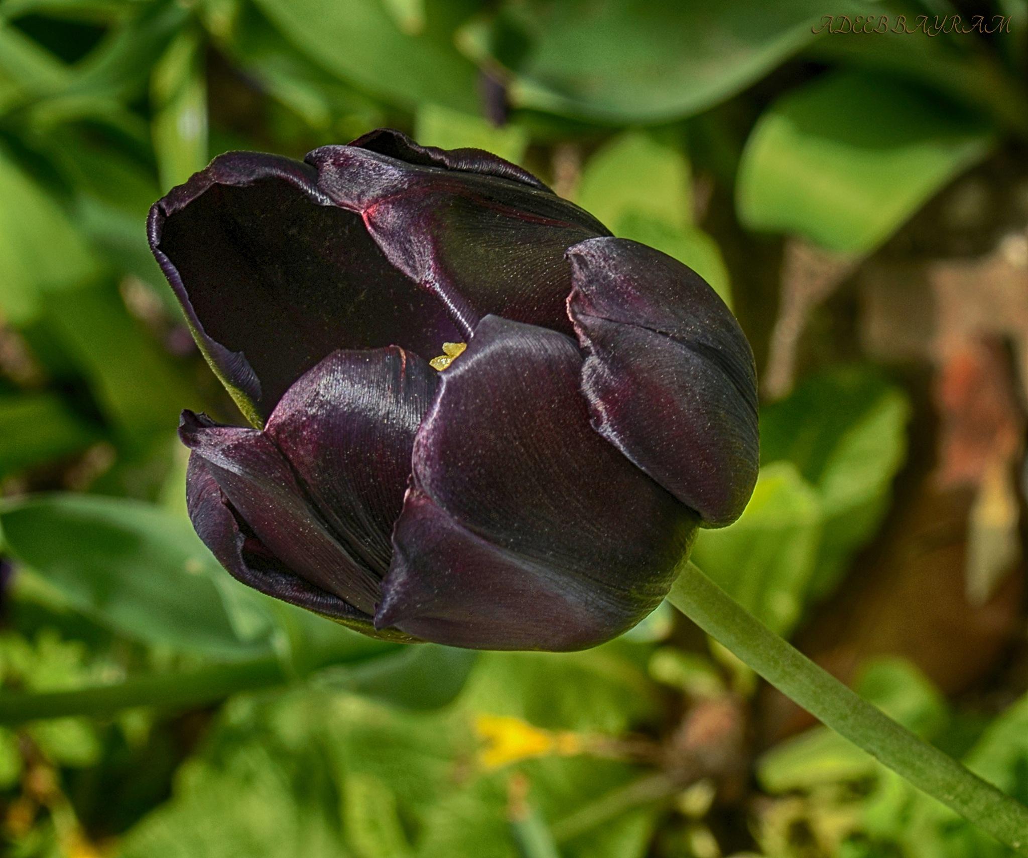 Black Tulip by Adeeb Albayram
