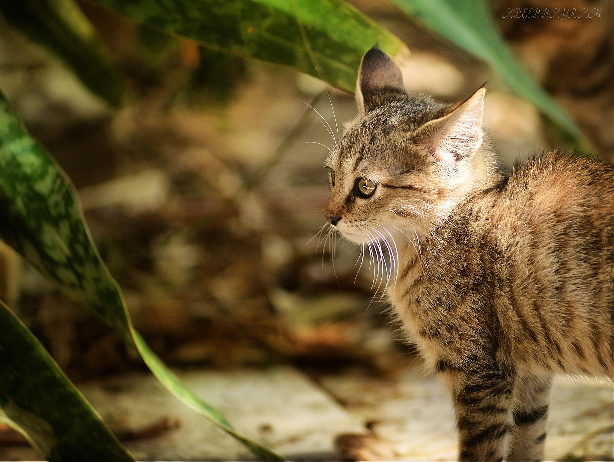 CAT by Adeeb Albayram
