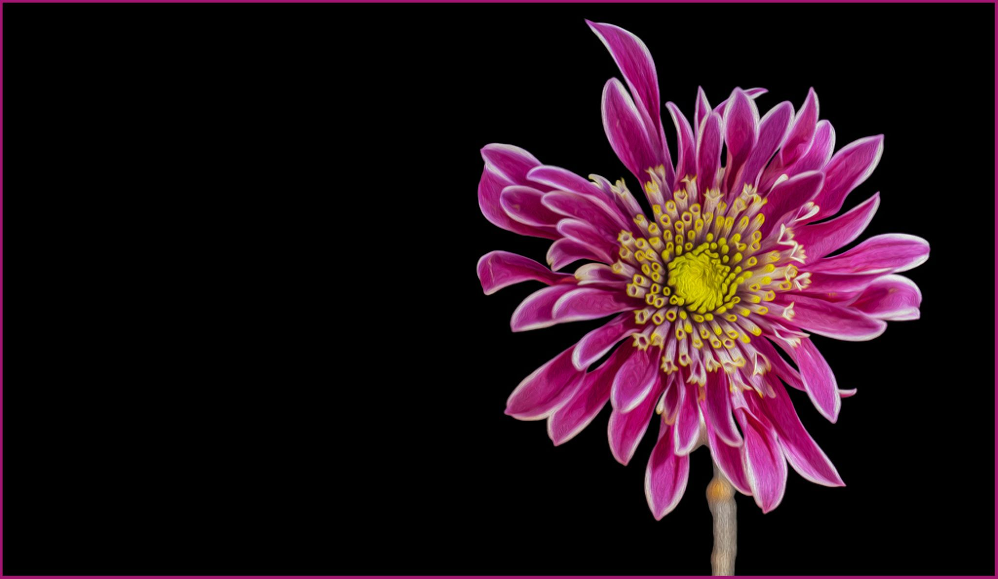 Painted Chrysanthemum by Steve Smith
