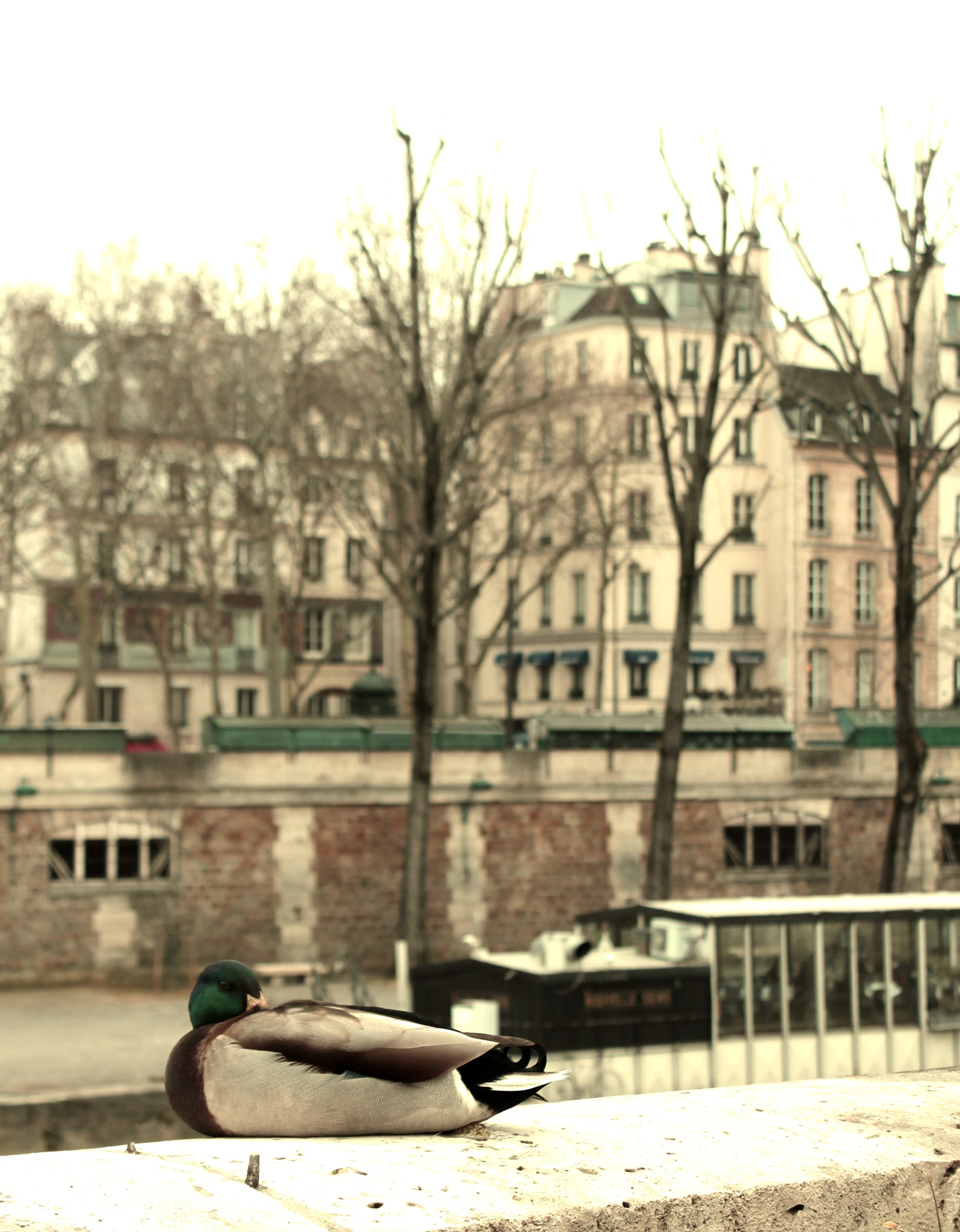 Photo in Animal #duck #animal #paris #town #france #street #notre-dame