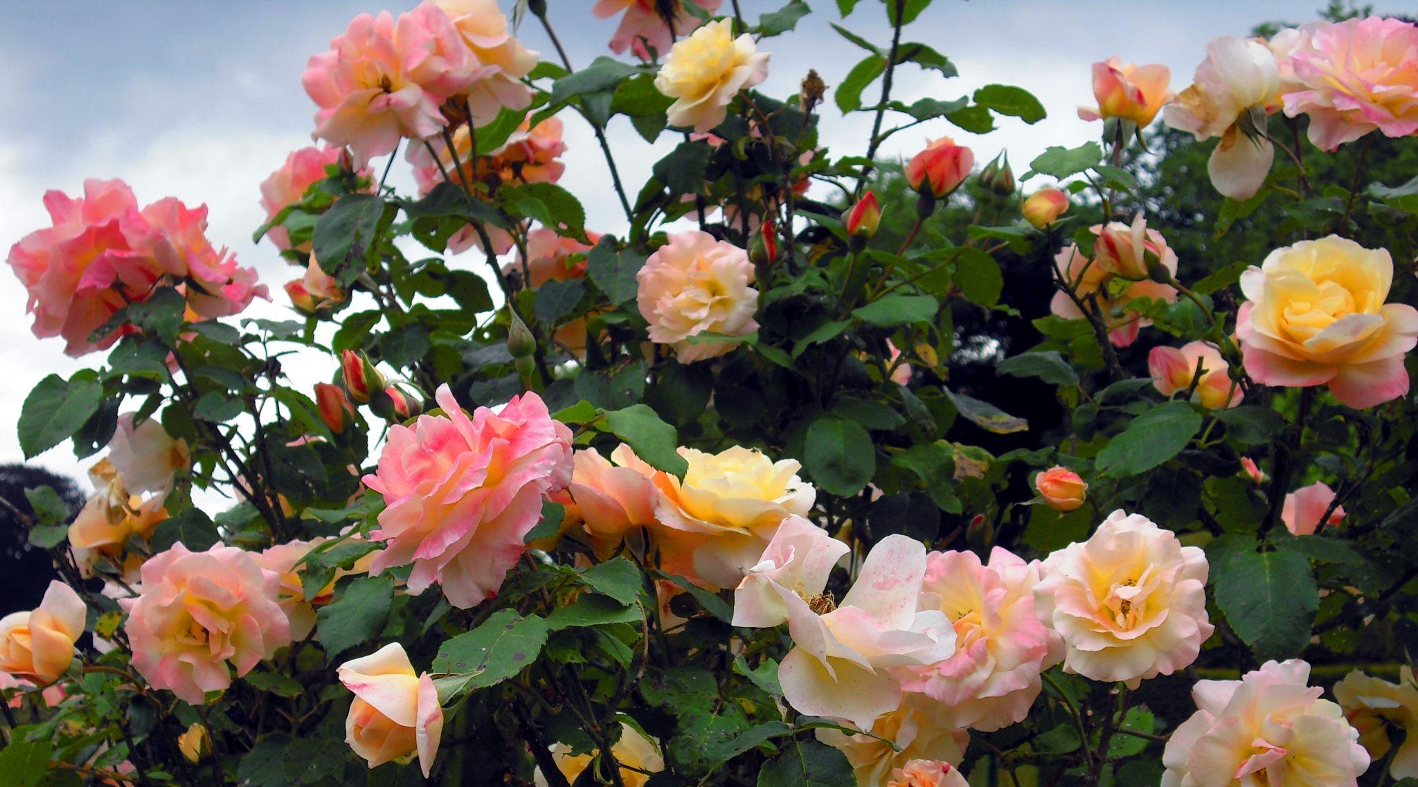 Les rosiers du parc de Ferrières by Blueanna