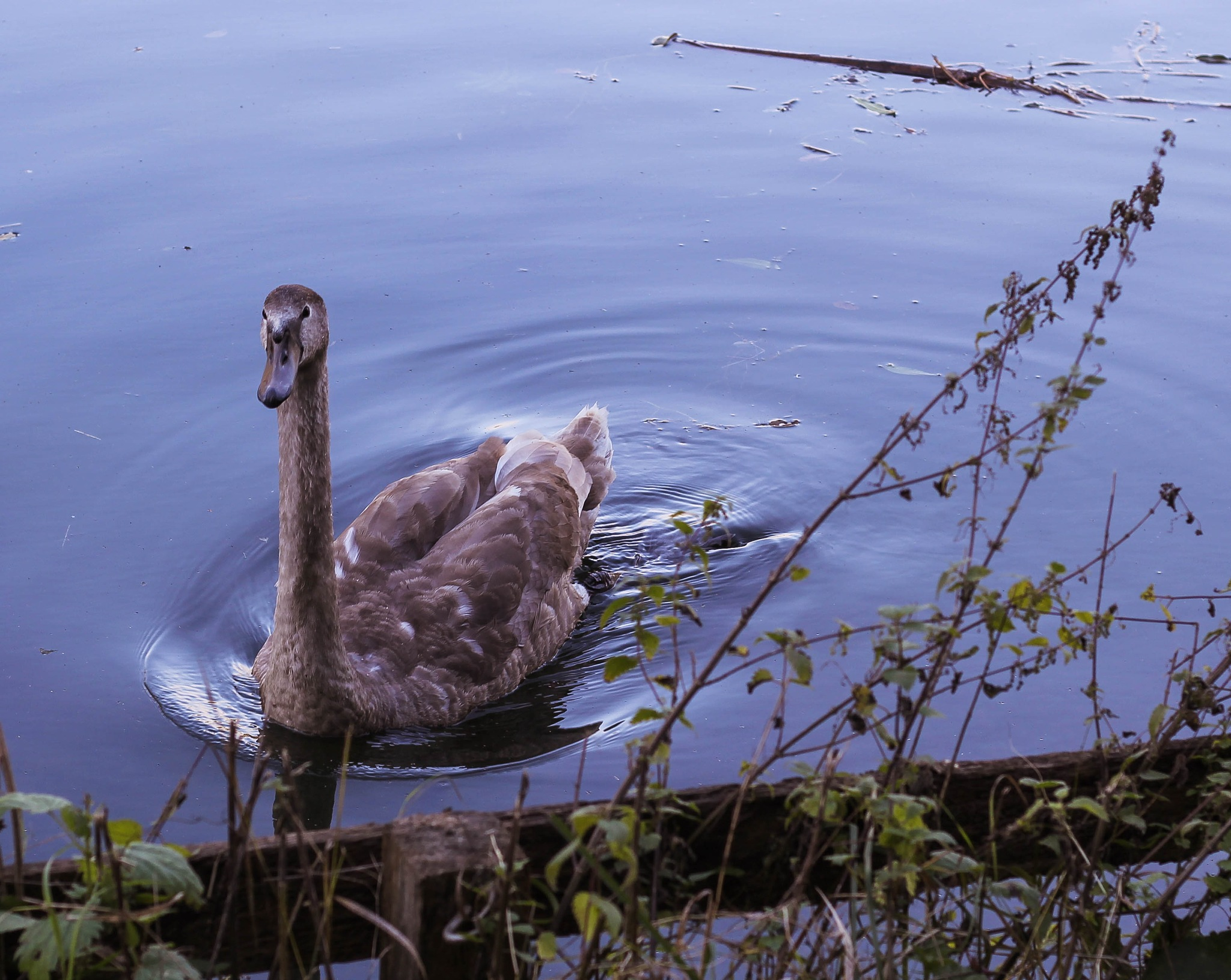 Young swan by Blueanna