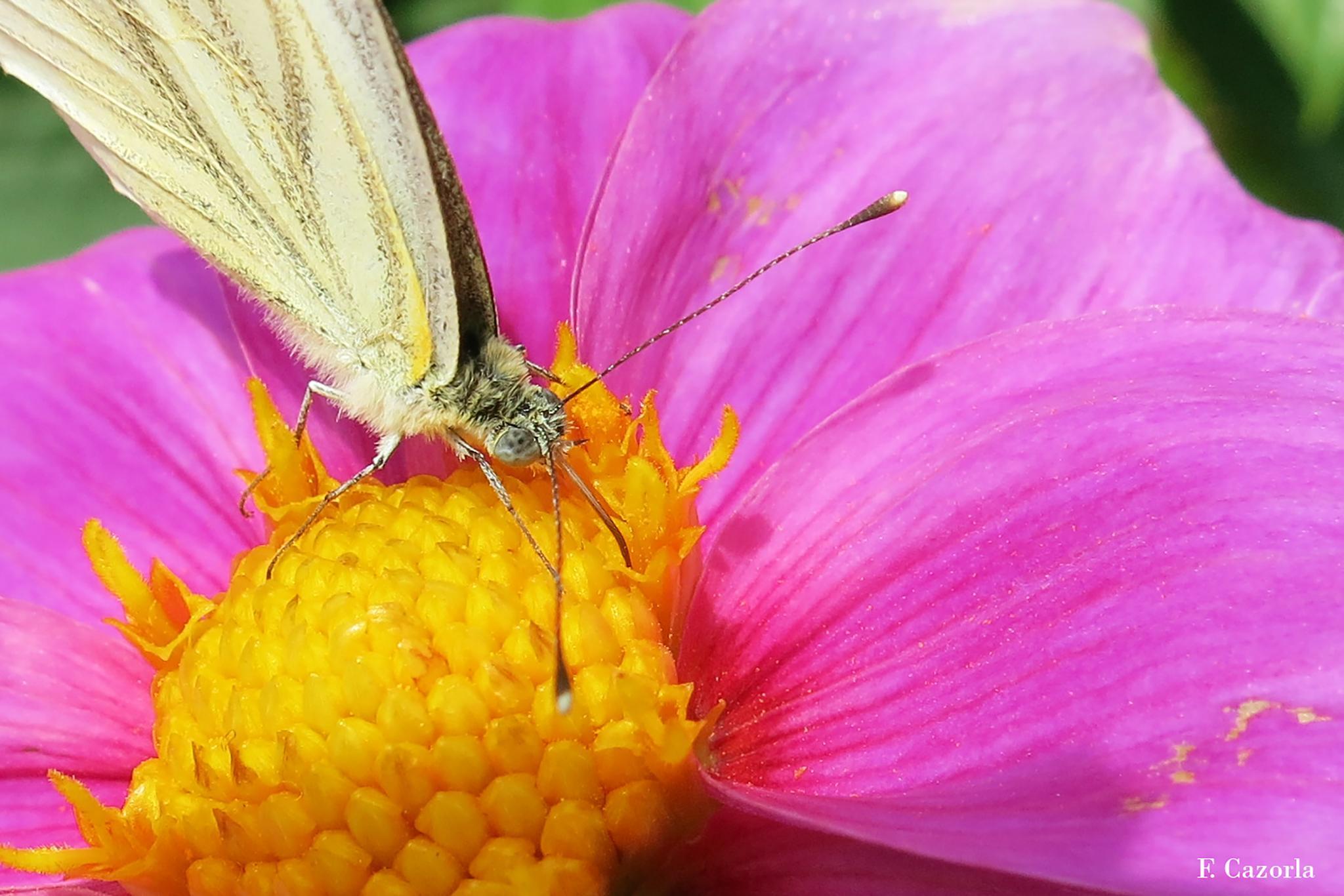 Mariposa libando polen by Félix Cazorla