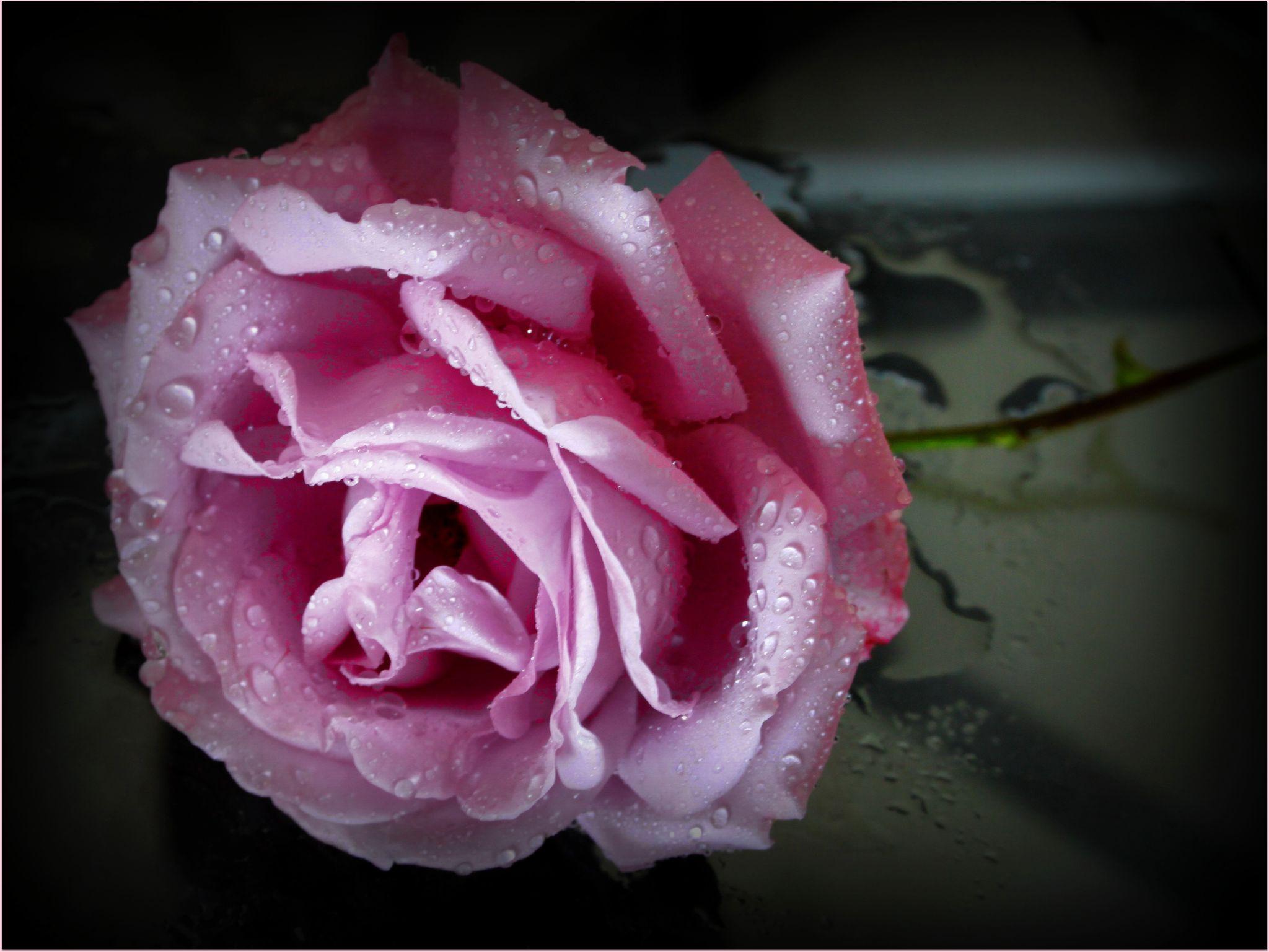 Rosewater by smithandredavid