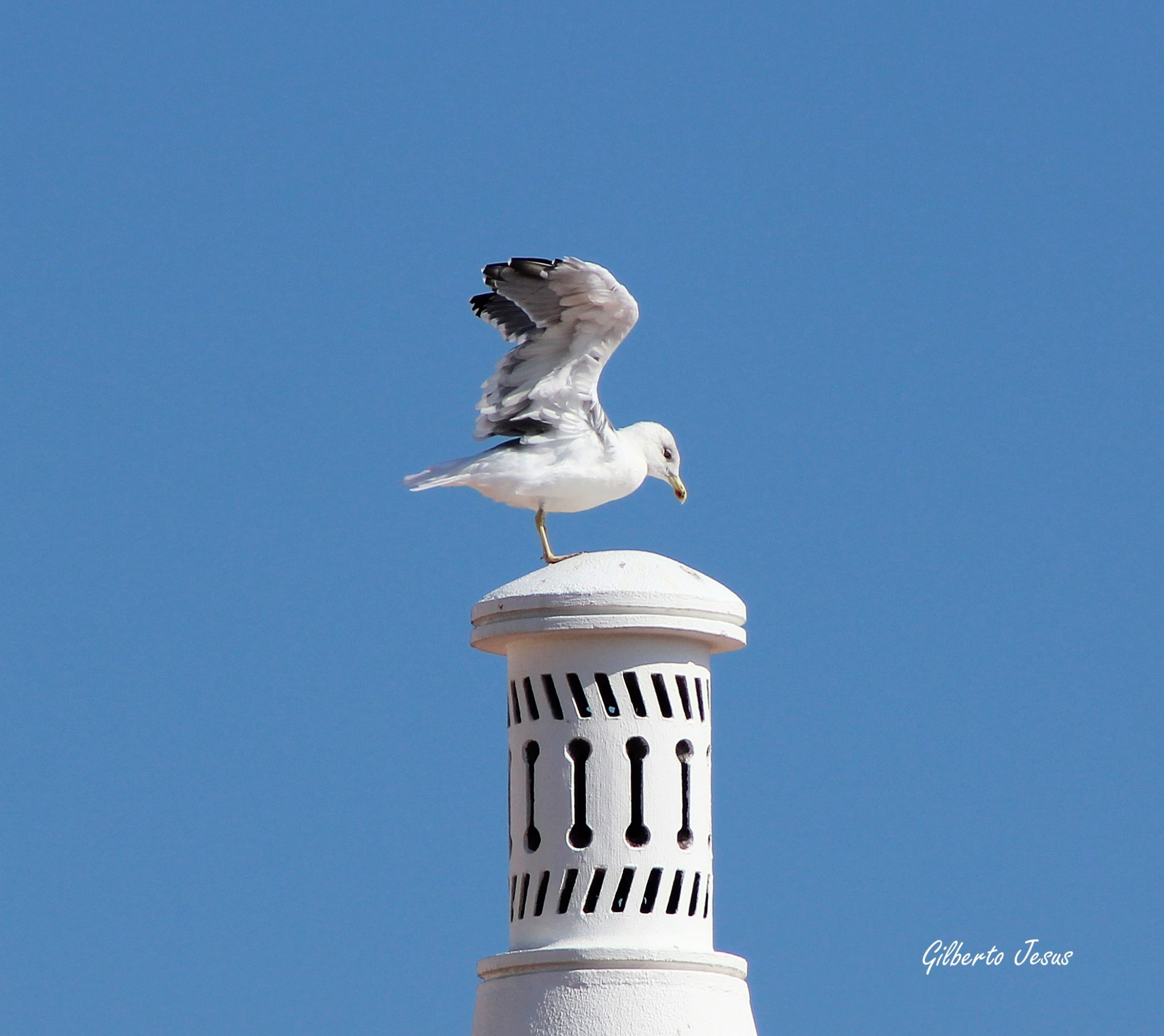 Seagull by Gilberto Jesus