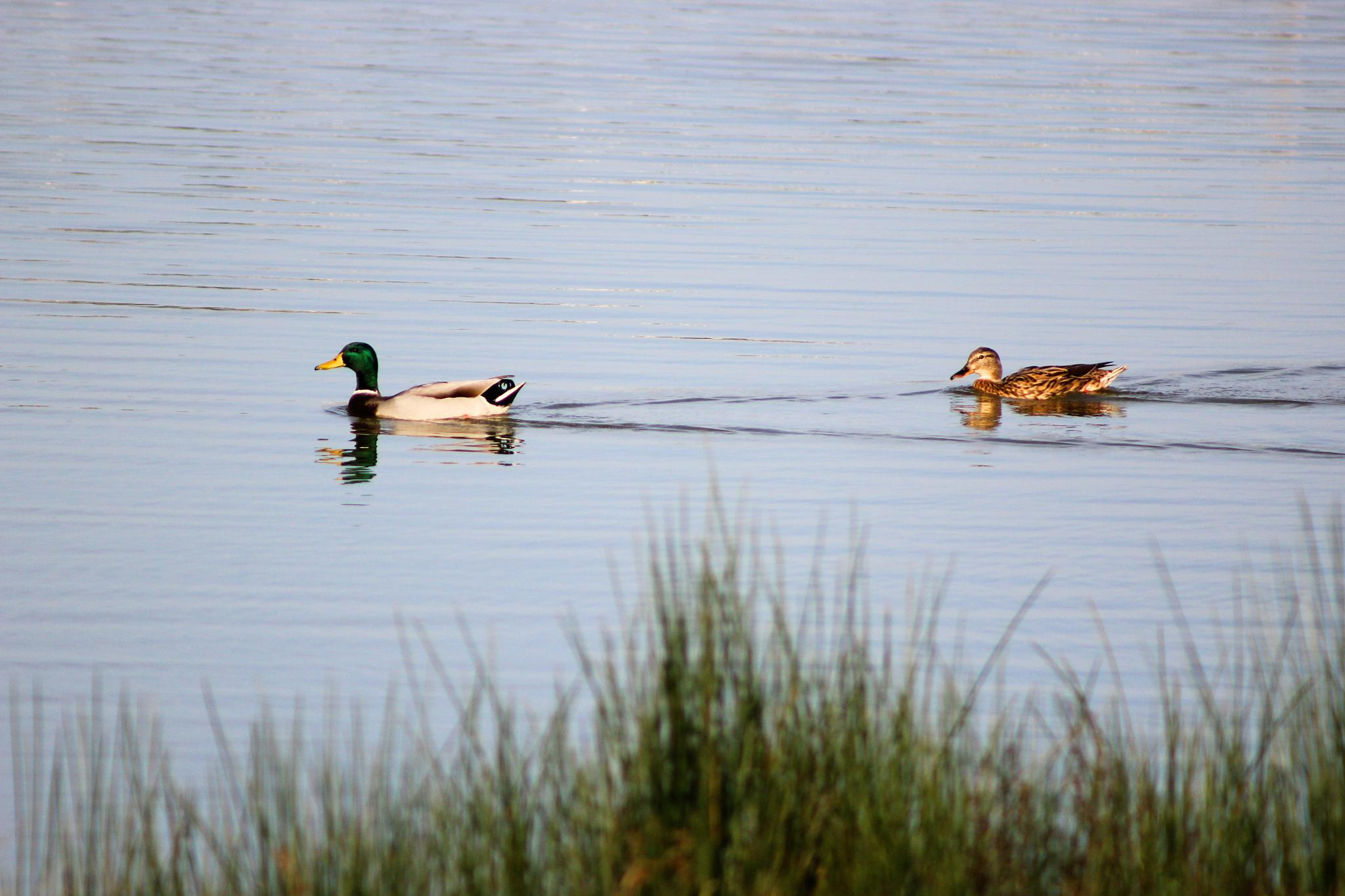 Ducks by Gilberto Jesus