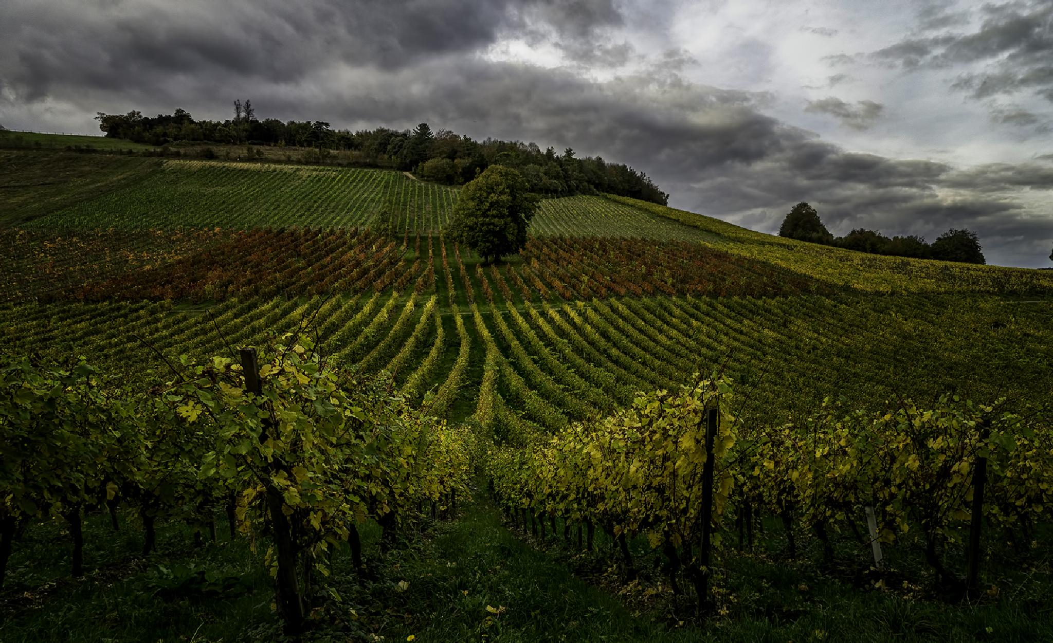 Photo in Landscape #denbies wine estate #vineyards #dorking #surrey #england