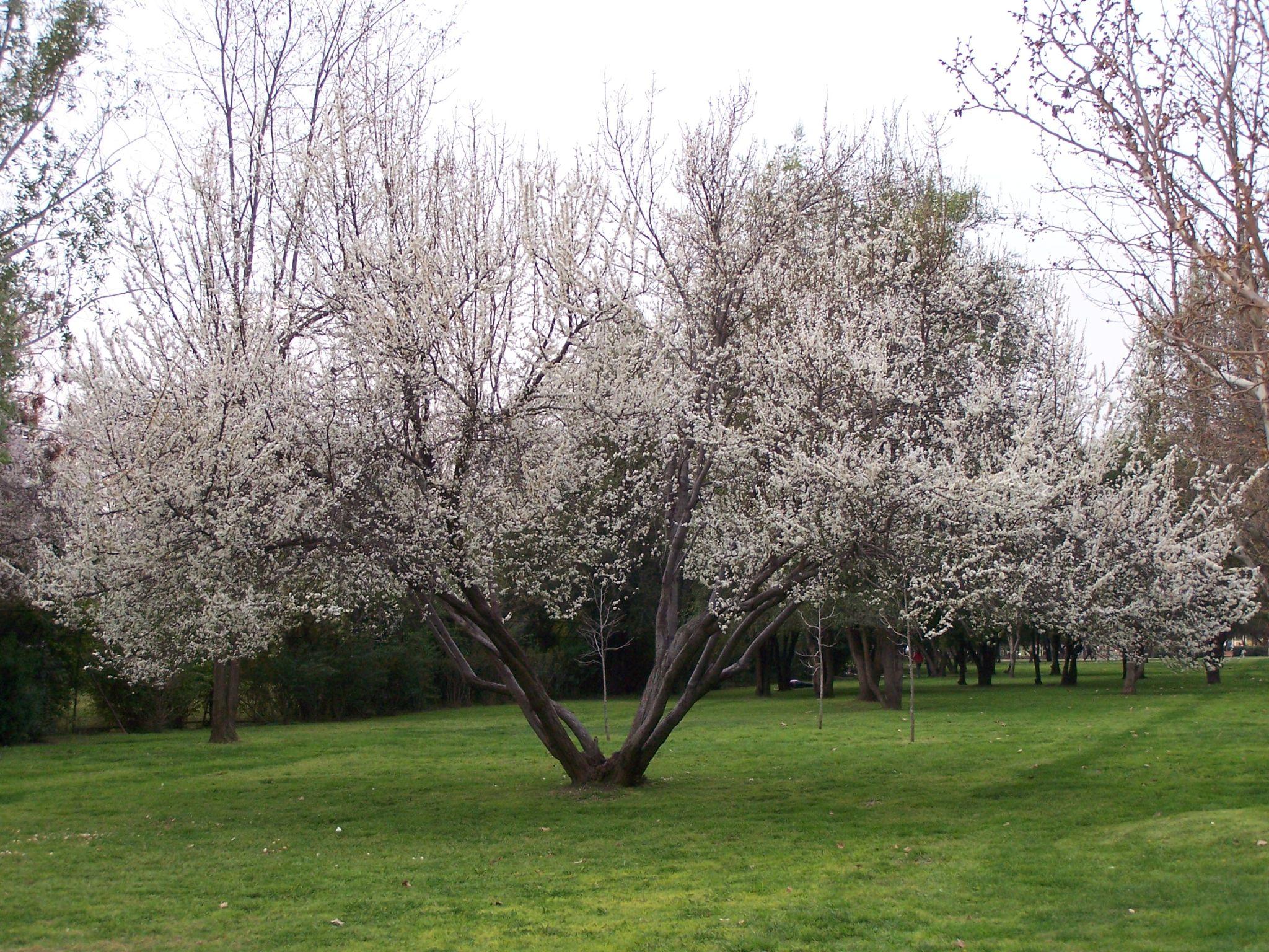 Cherry blossom by Eduardo Vega H