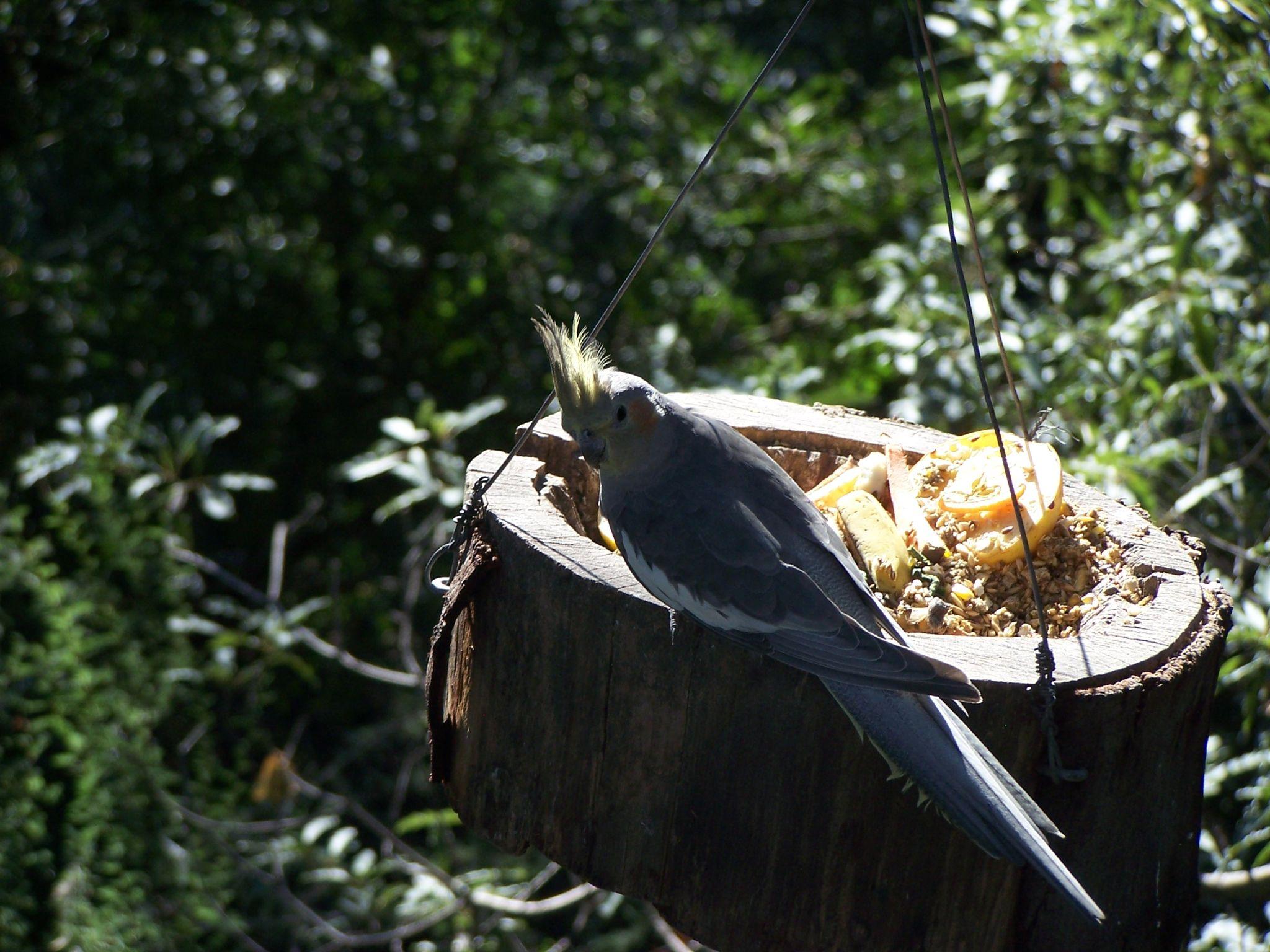 Ninfa parrot  by Eduardo Vega H