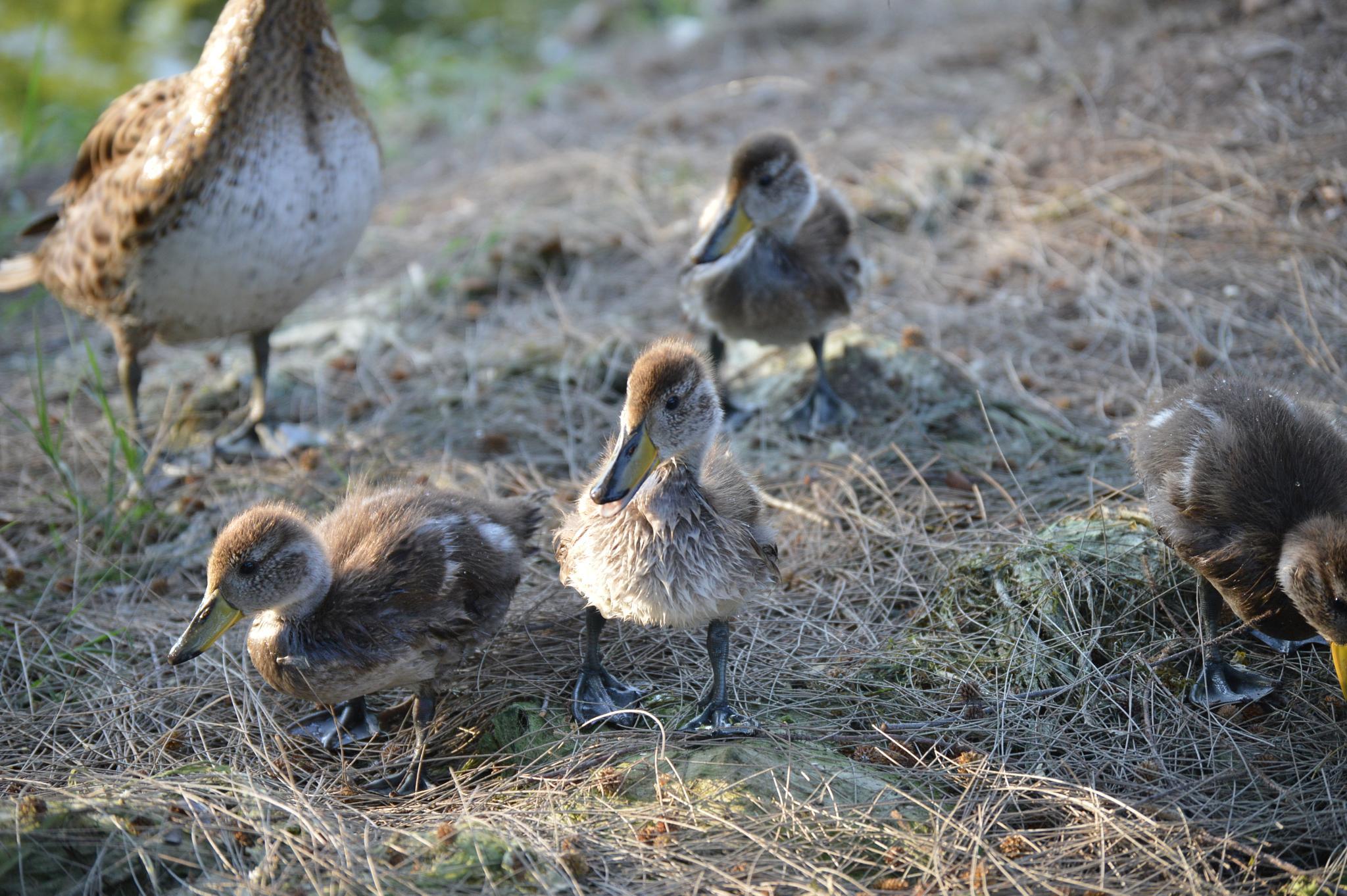 Duck, duck, goose by Eduardo Vega H