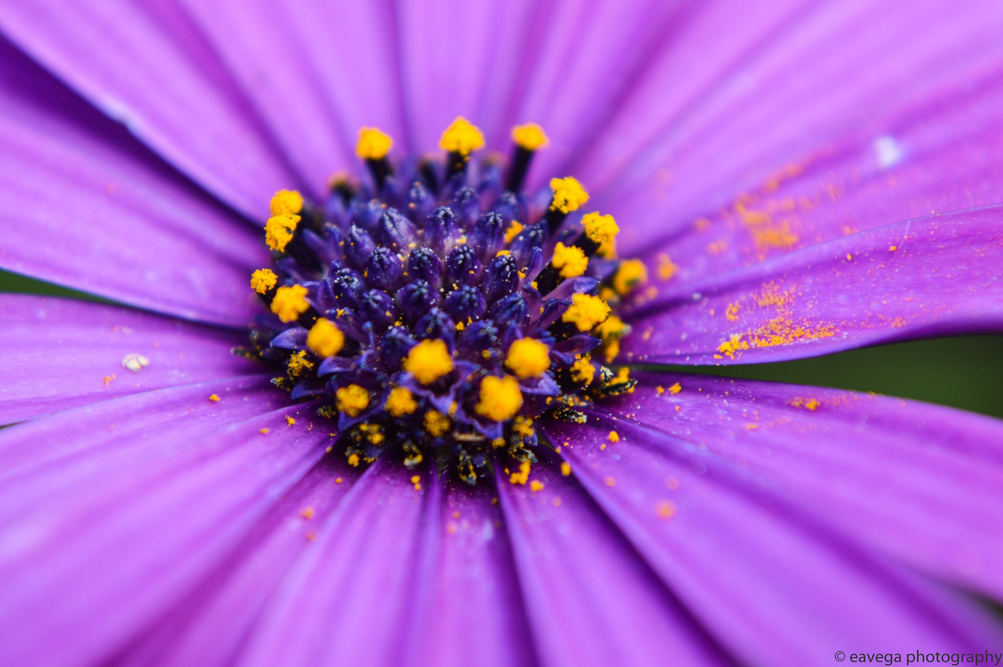 Pollen by Eduardo Vega H
