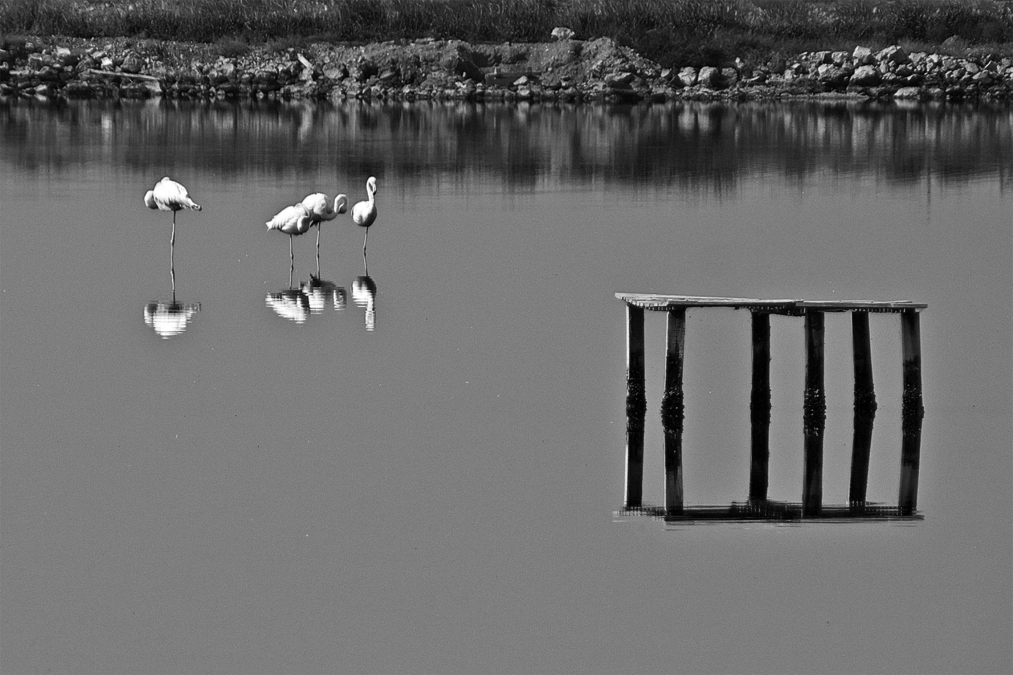 Dört Flamingo ( Four Flamingos ) by Suleyman Bilgen