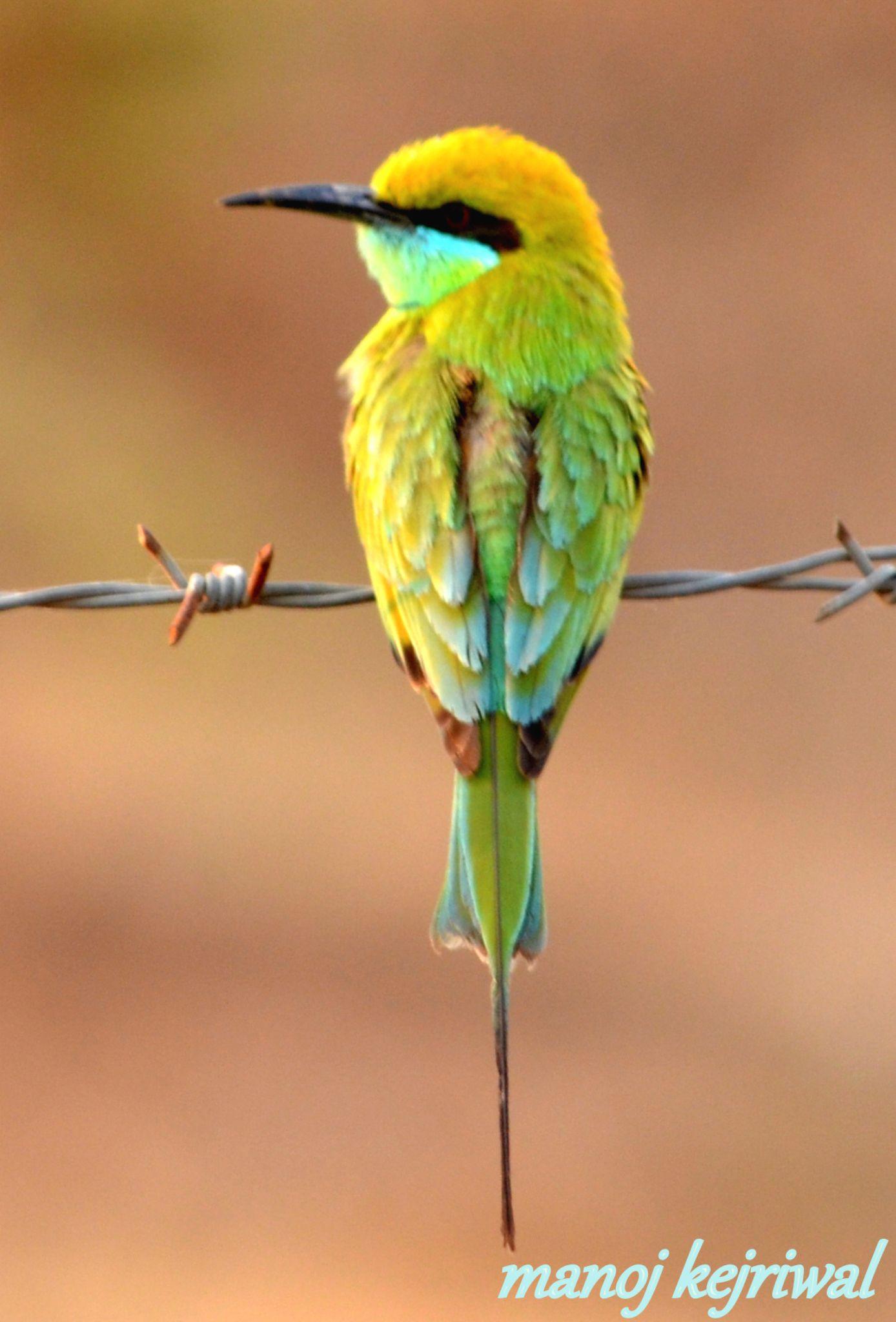 green bee eater by manoj.kejriwal.9
