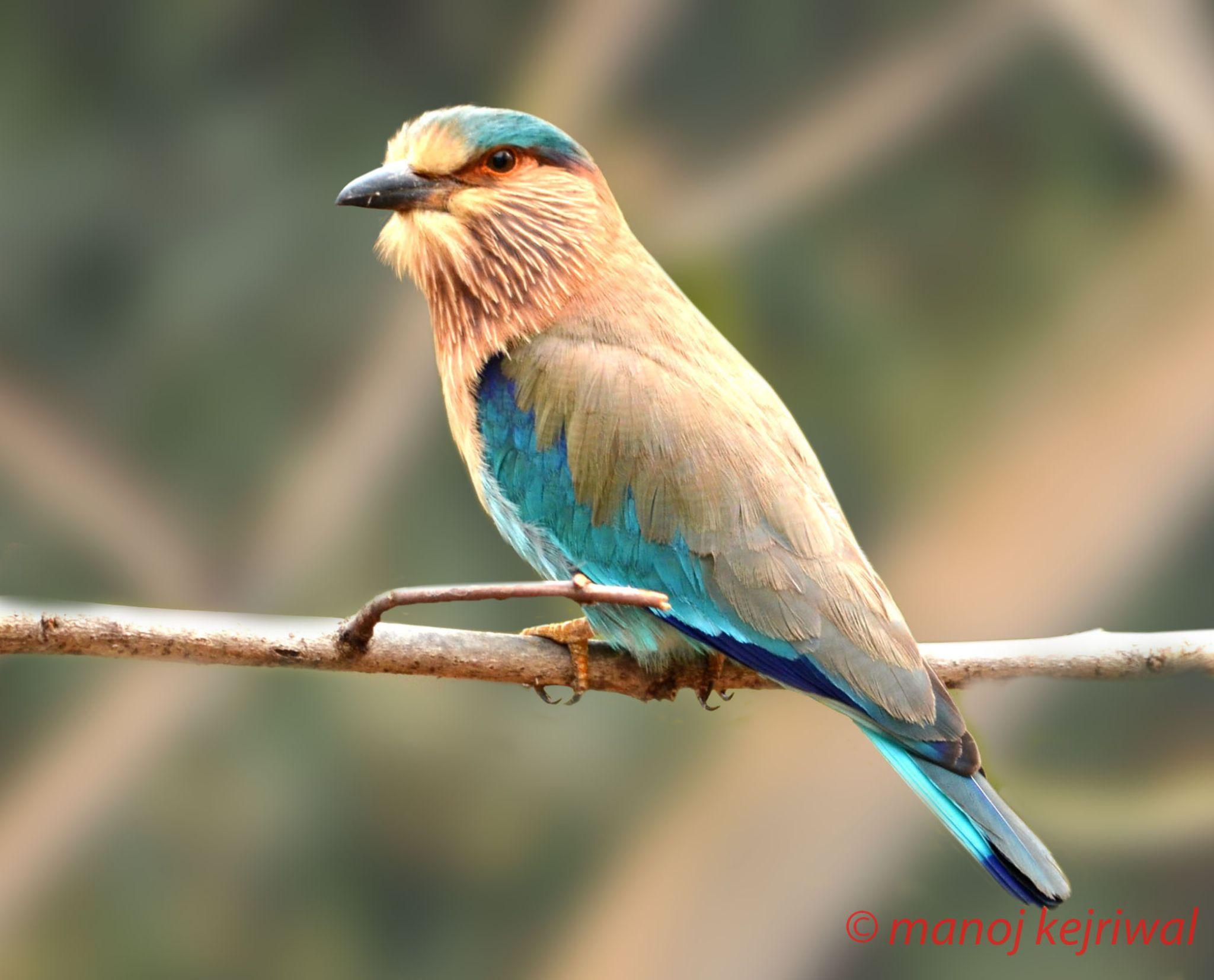 verditer flycatcher by manoj.kejriwal.9