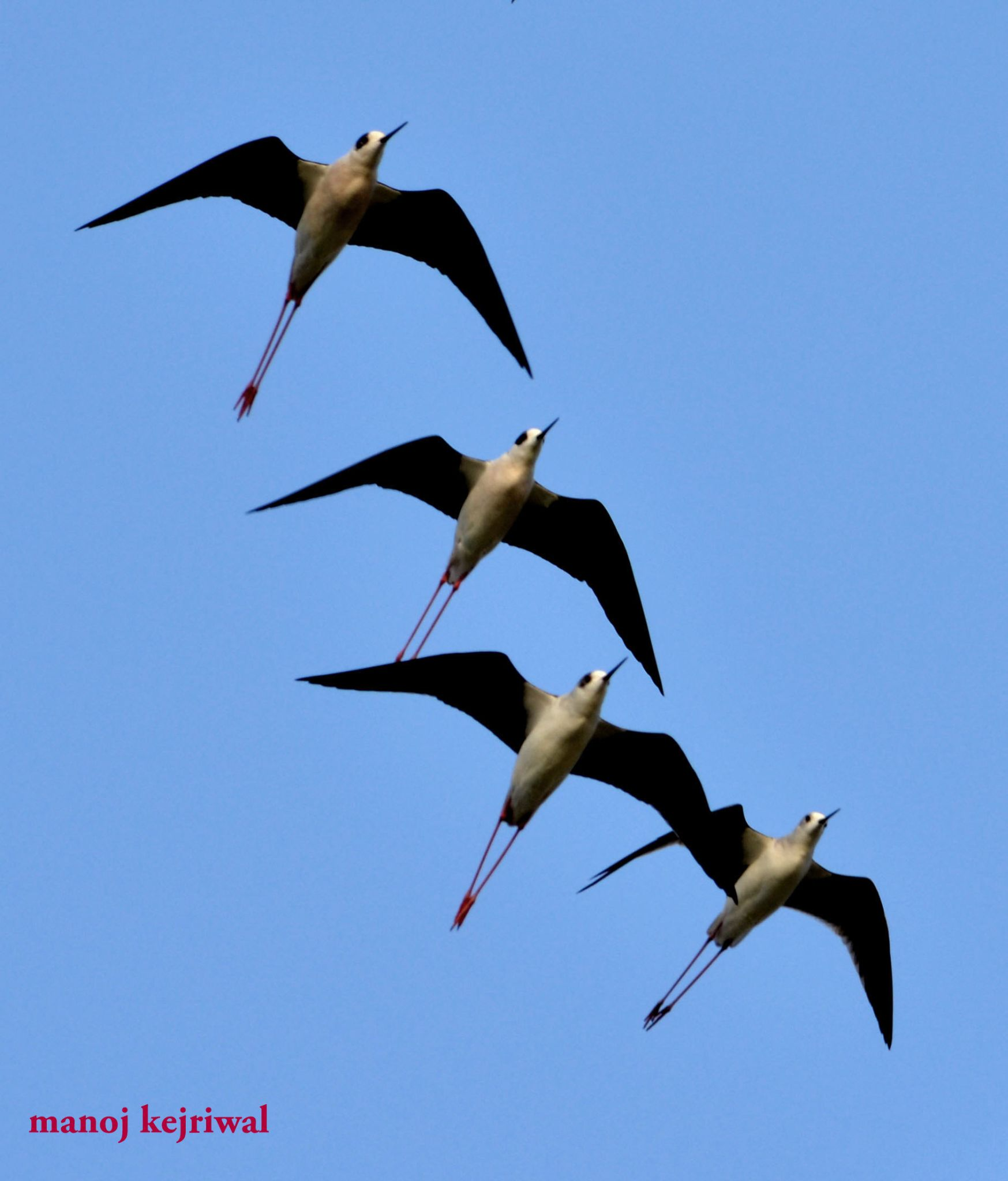 black winged stilt by manoj.kejriwal.9