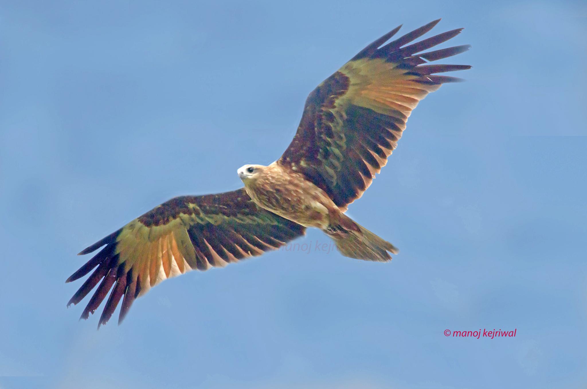 Photo in Nature #kite #bird #india